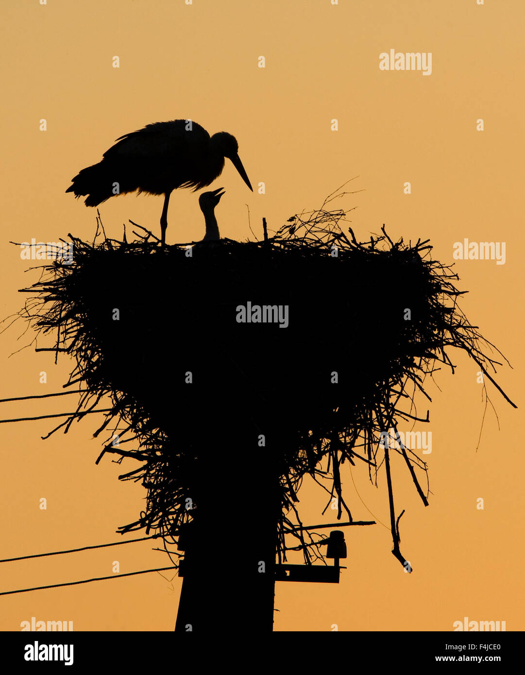 White stork (Ciconia ciconia) and chick silhouetted at nest, Labanoras Regional Park, Lithuania, May 2009 - Stock Image