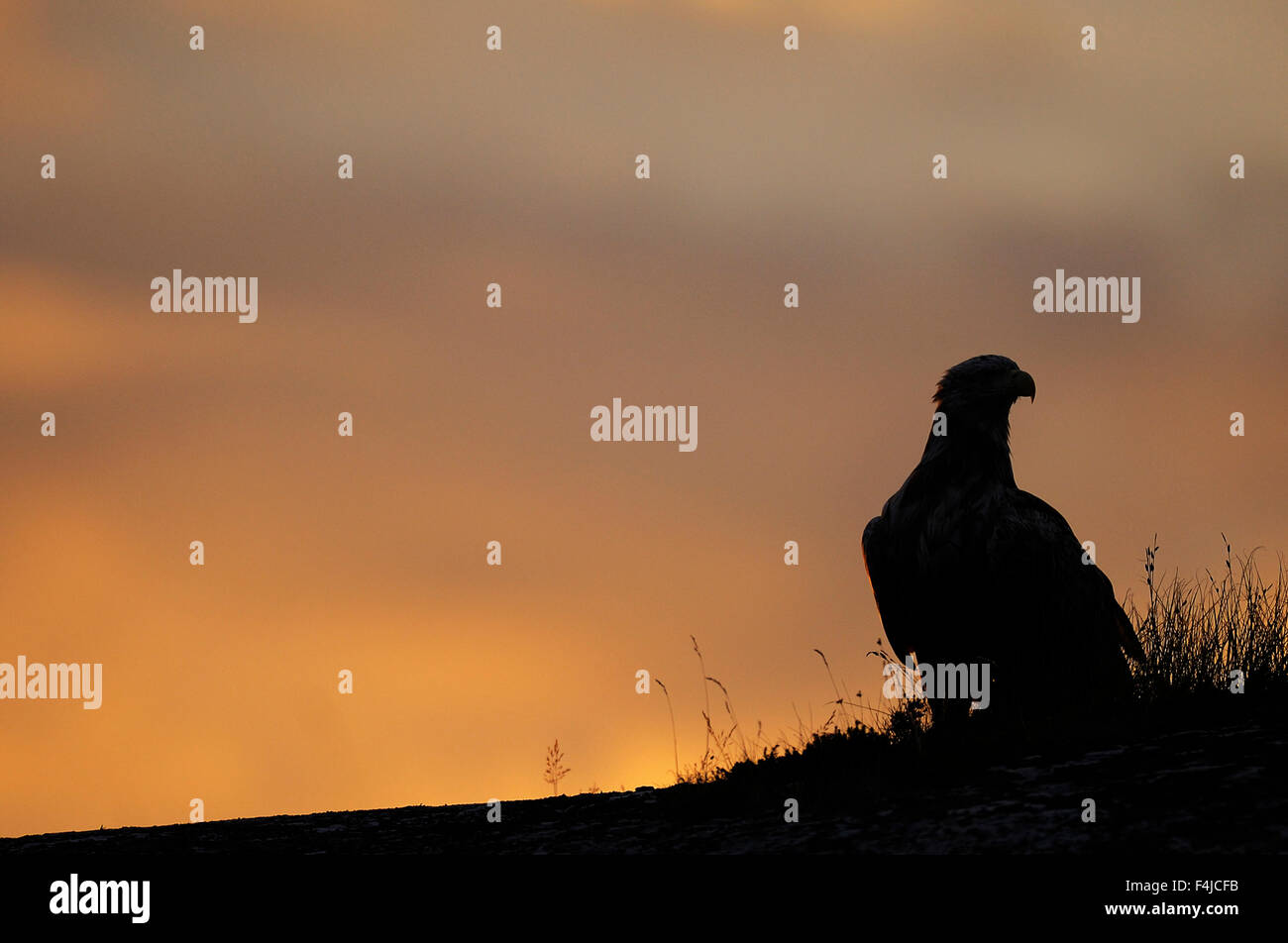White tailed sea eagle (Haliaeetus albicilla) silhouetted against orange sky, Flatanger, Nord Trøndelag, Norway, - Stock Image