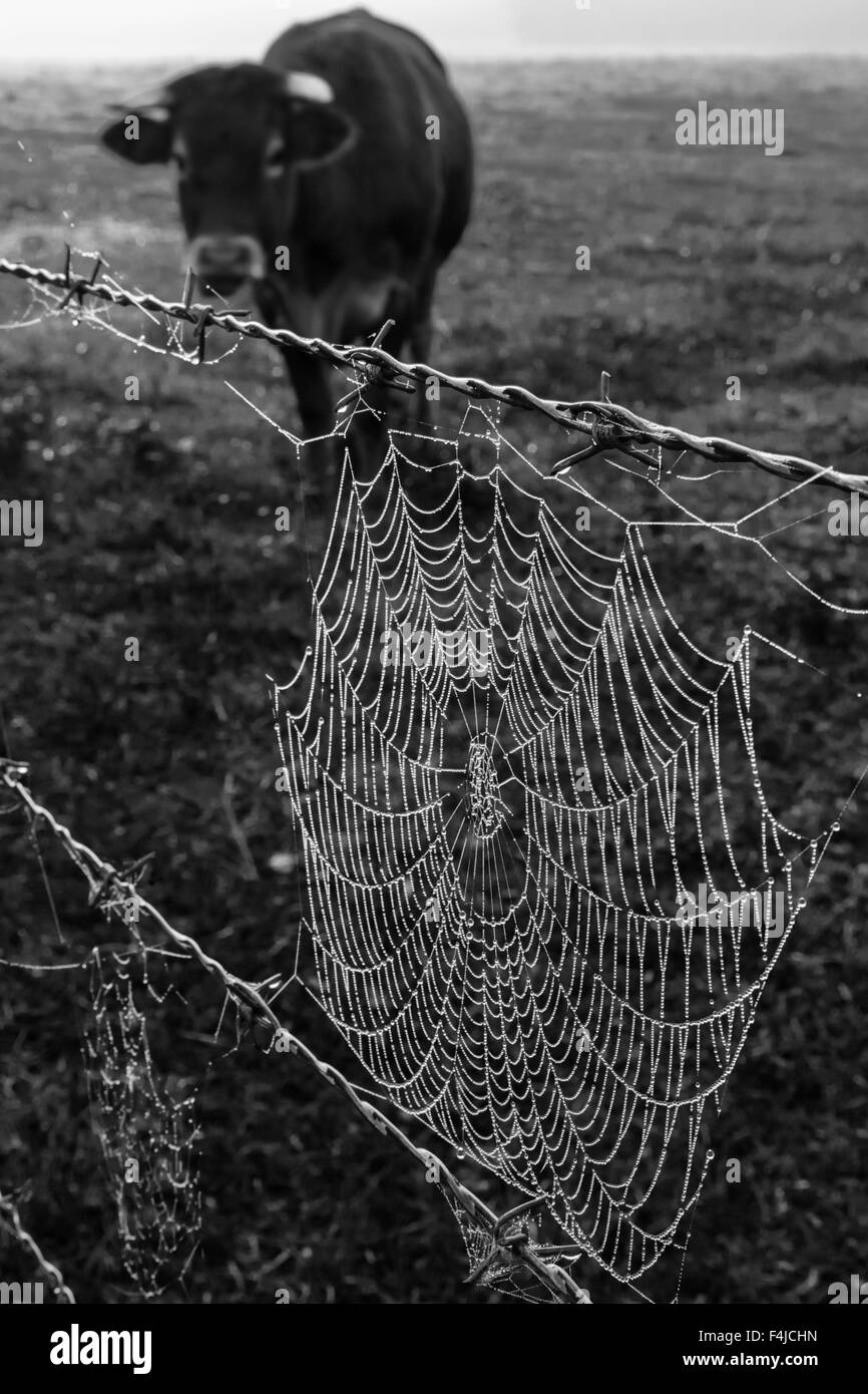 Dew covered single spiders web on a barbed wire fence, misty morning farmland with a cow in back - Stock Image