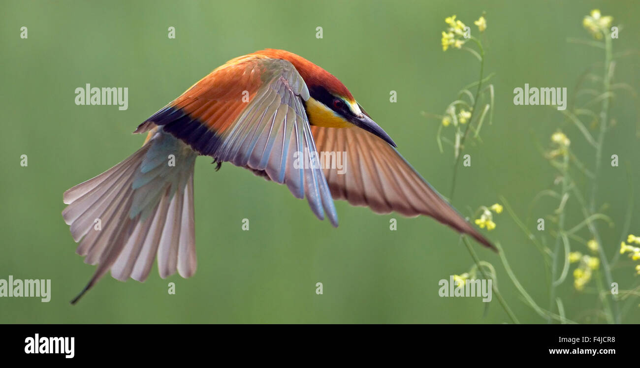 European Bee-eater (Merops apiaster) in flight, Pusztaszer, Hungary, May 2008 Stock Photo
