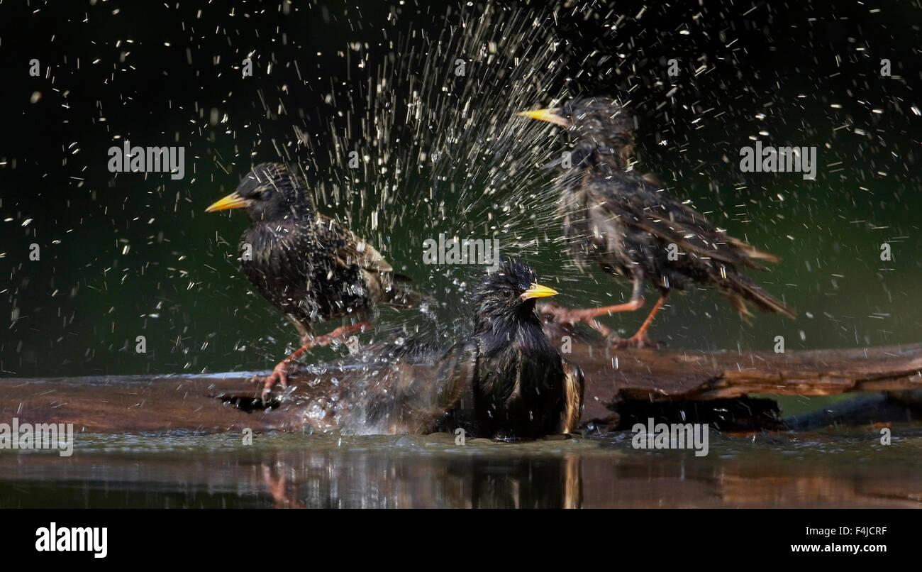 Starlings (Sturnus vulgaris) bathing, Pusztaszer, Hungary, May 2008 - Stock Image