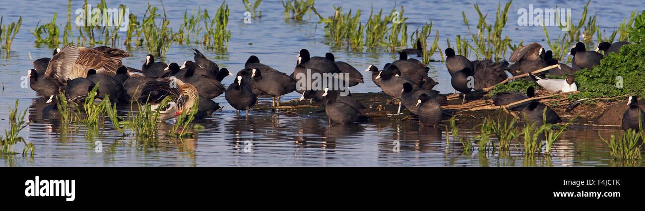 Coot (Fulica atra), gulls and ducks on lake shore, Pusztaszer, Hungary, May 2008 - Stock Image
