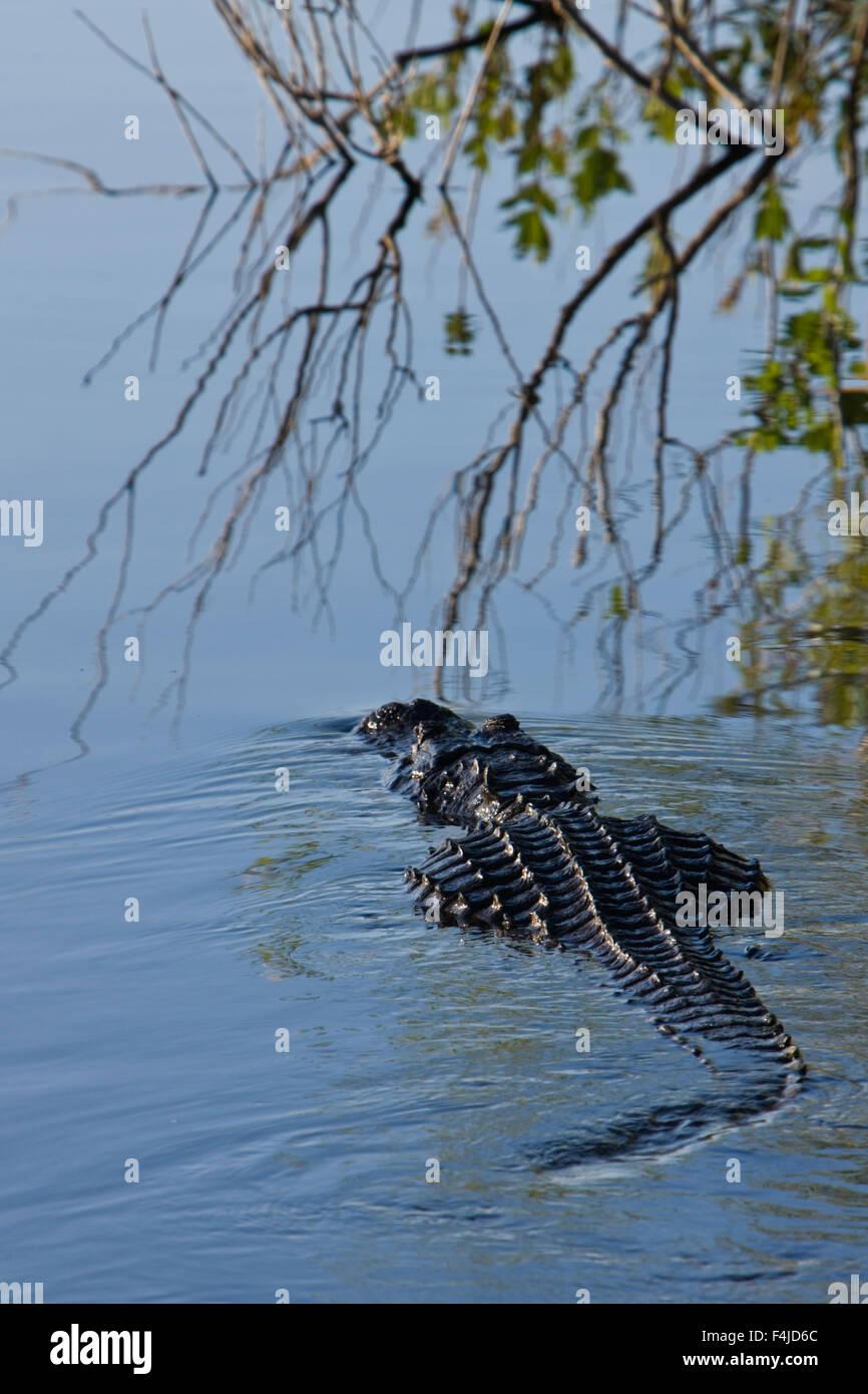 alligatoridae America american American alligator color image crocodiles crocodiles and allies everglades national - Stock Image