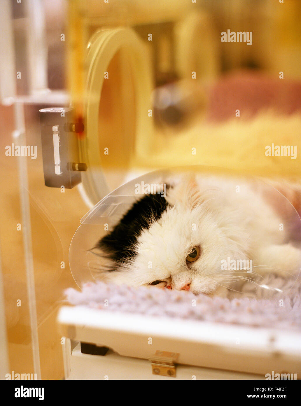 Cat on operating table Stock Photo