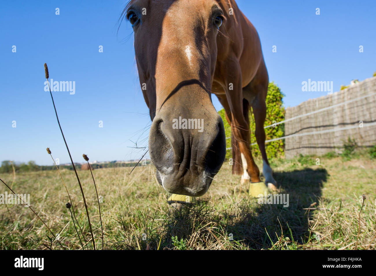 Horse on the pasture, head nostrils funny, wide, blue sky, grass, grazing, vis a vis, close, close up, eat, eats - Stock Image