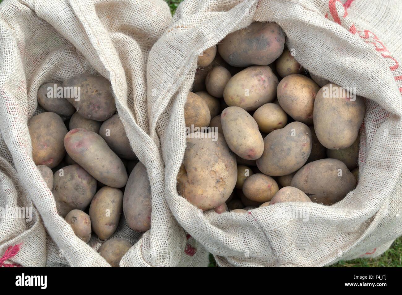 Harvested potatoes in hessian sacks - Stock Image