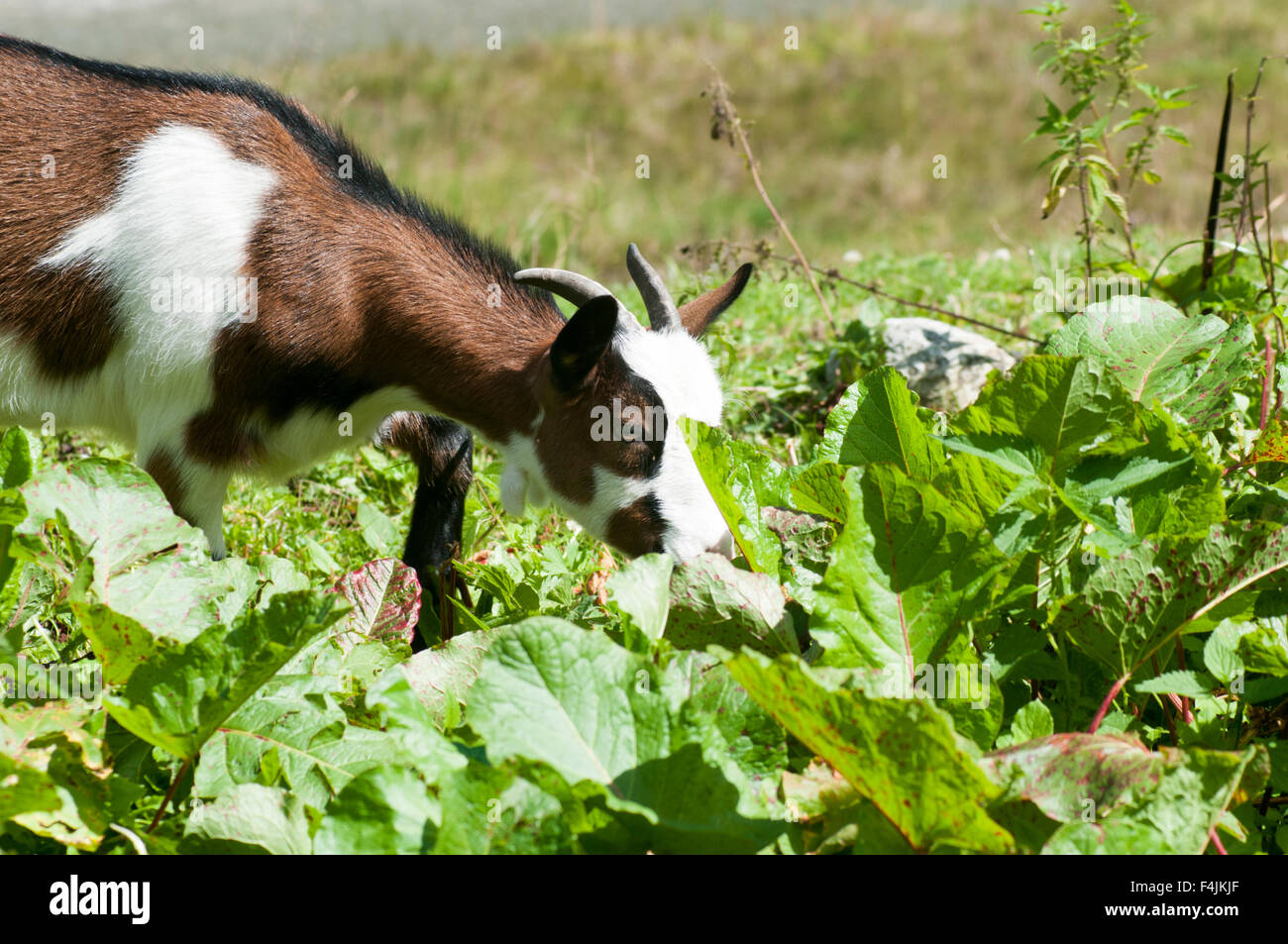 Domestic Pygmy Goat grazing in a field Photographed in Tyrol Austria - Stock Image