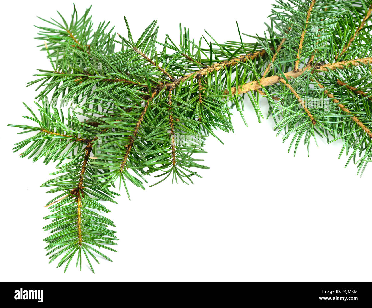 Christmas tree branch isolated on white - Stock Image