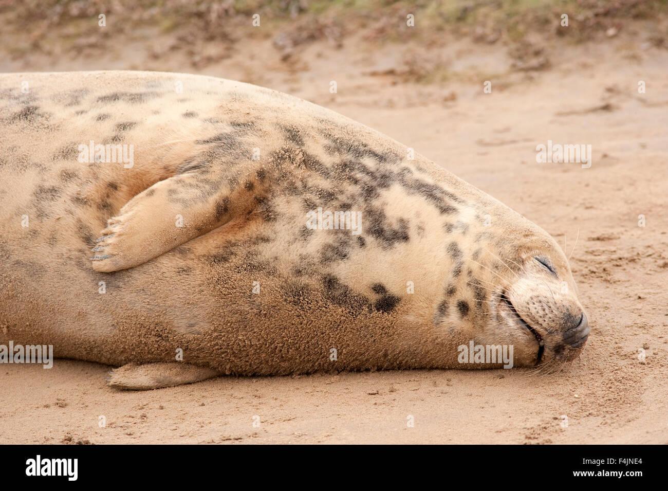 Grey Seal Halichoerus grypus Donna Nook UK Stock Photo
