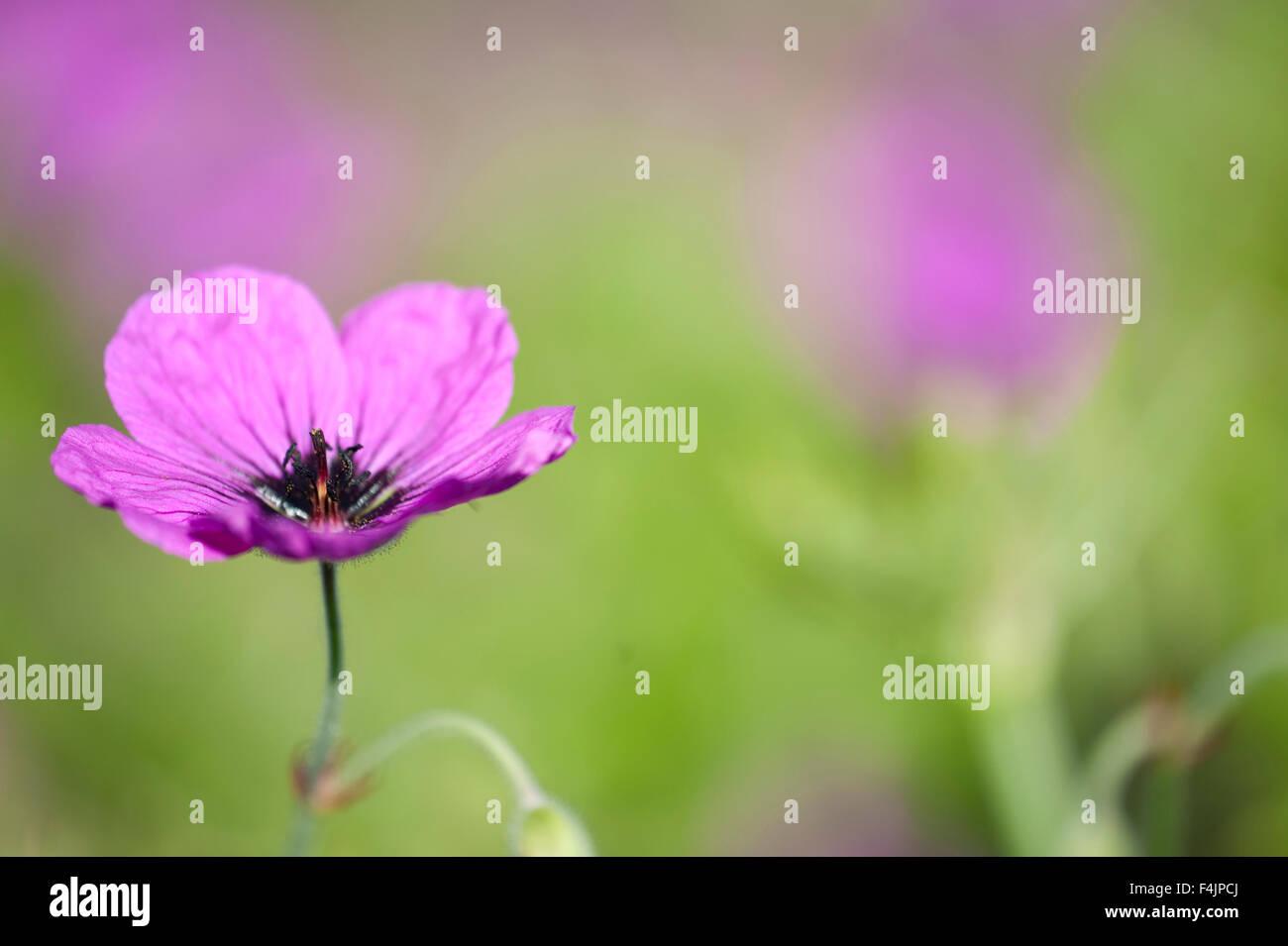 Magenta Geranium flower Geranium psilostemon UK - Stock Image