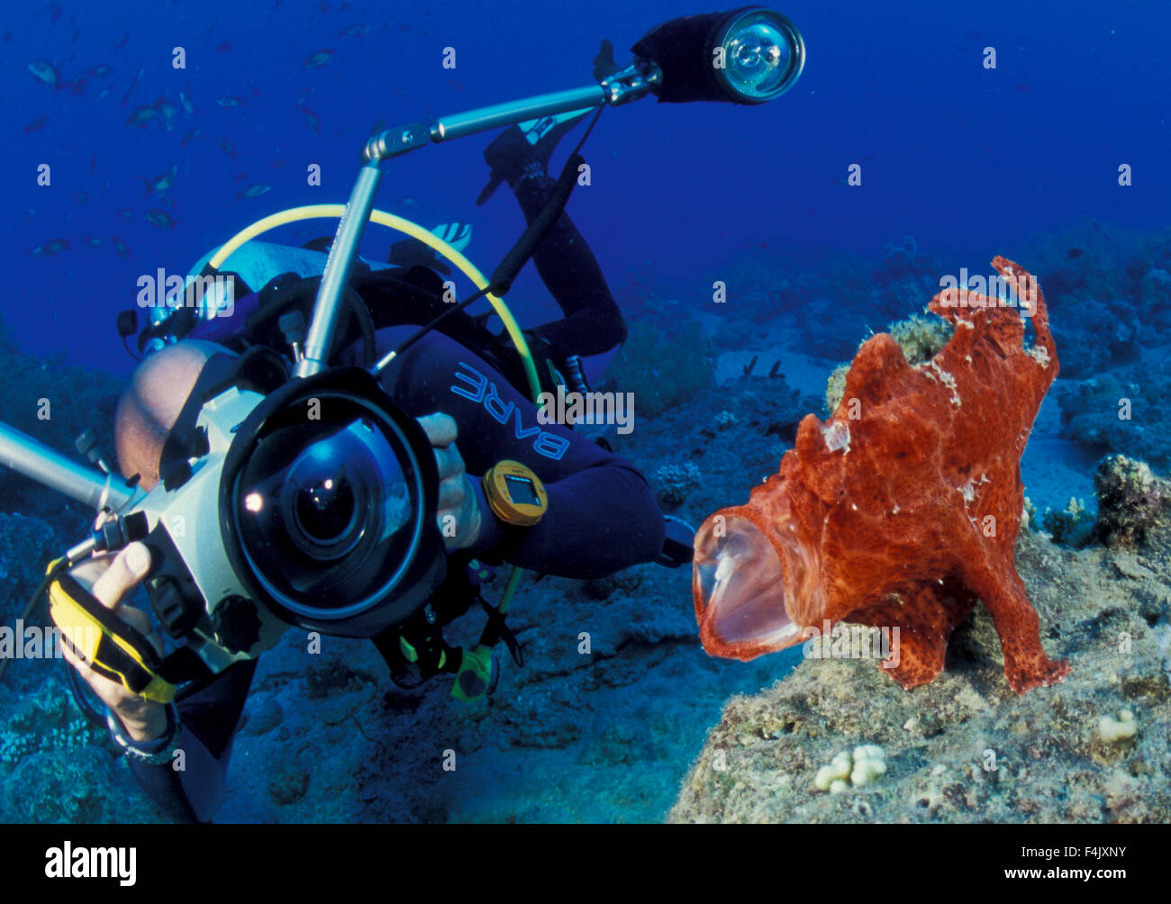 Frogfish - Stock Image