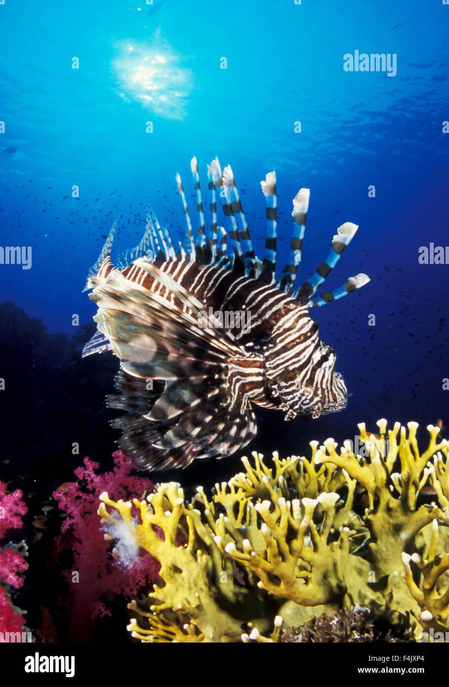 Lionfish - Stock Image