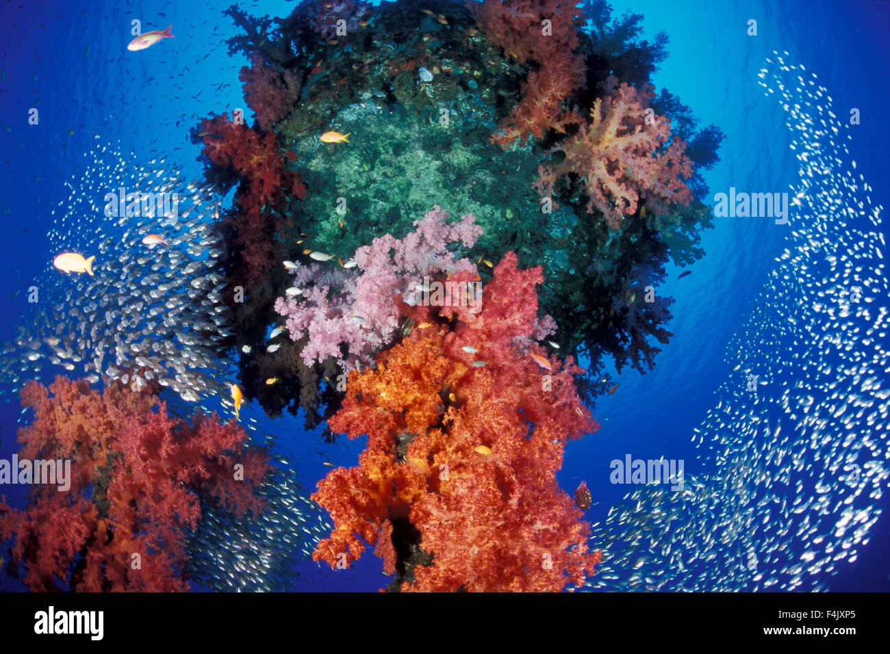Soft coral on artificial reef - Stock Image