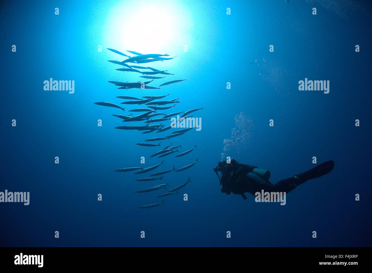 Diver and Barracuda - Stock Image