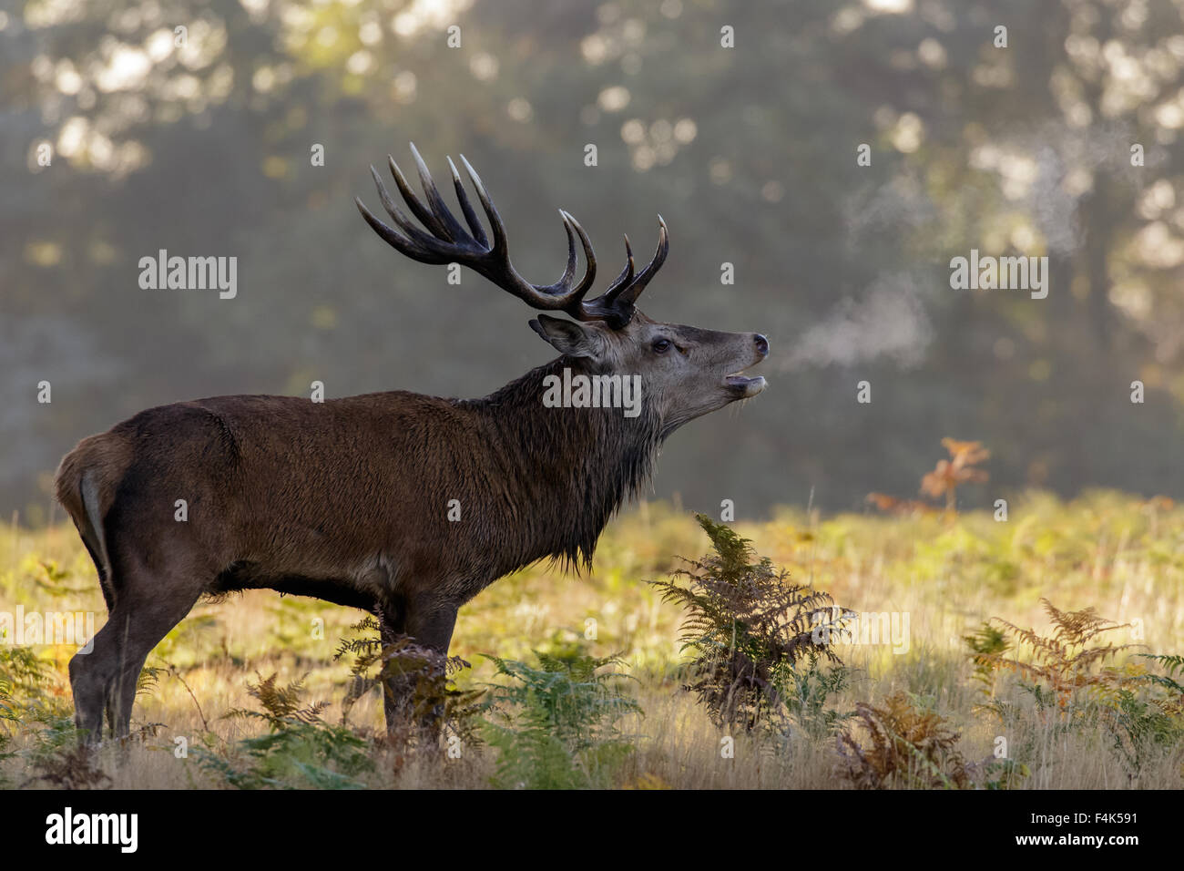 Red Deer rut stag (Cervus elaphus) roaring on a chilly morning. - Stock Image