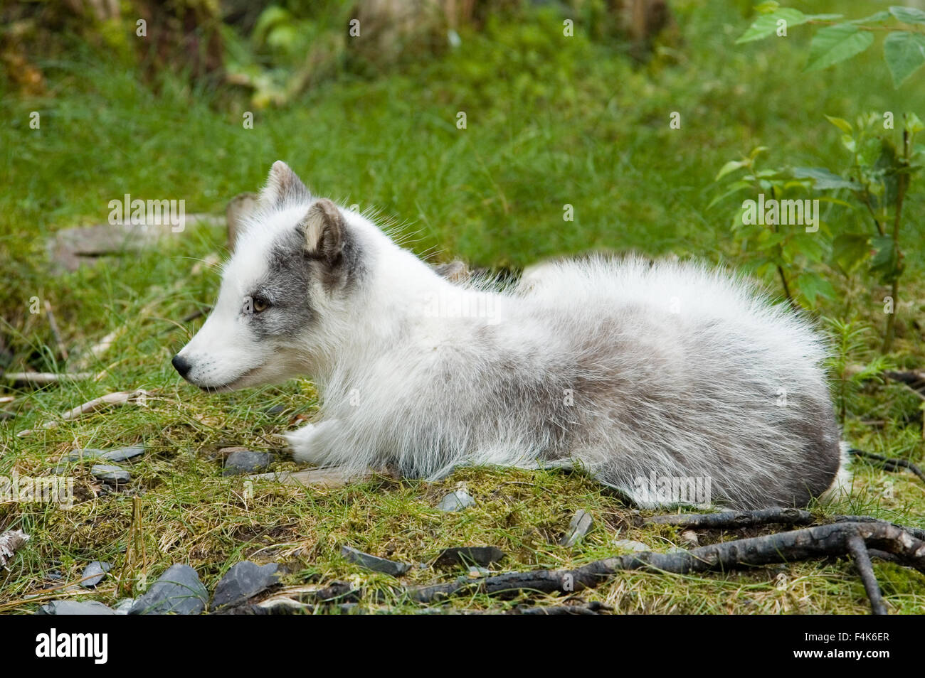 Arctic Fox lay  to rest - Stock Image