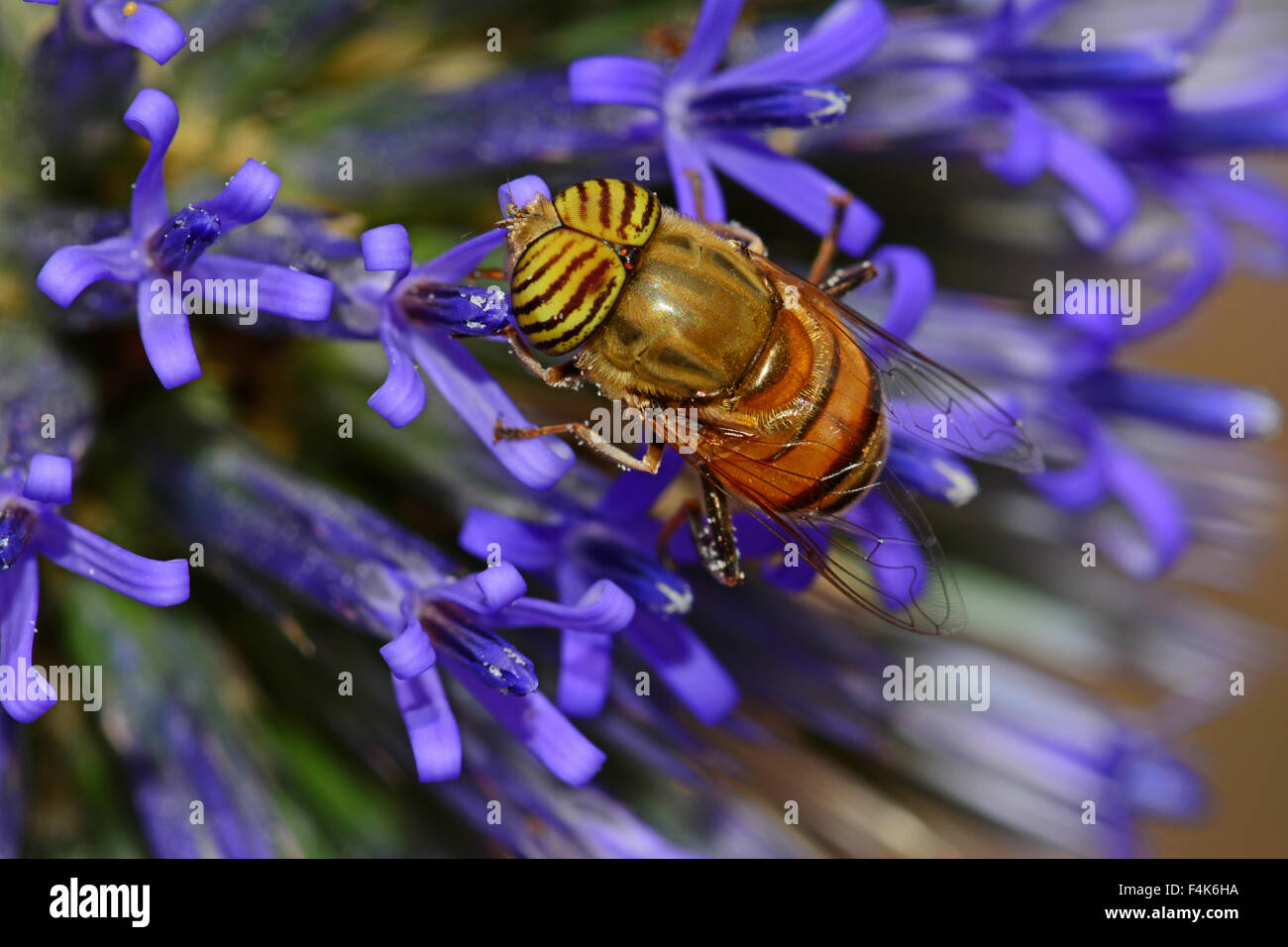 Fly mimics bee - Stock Image