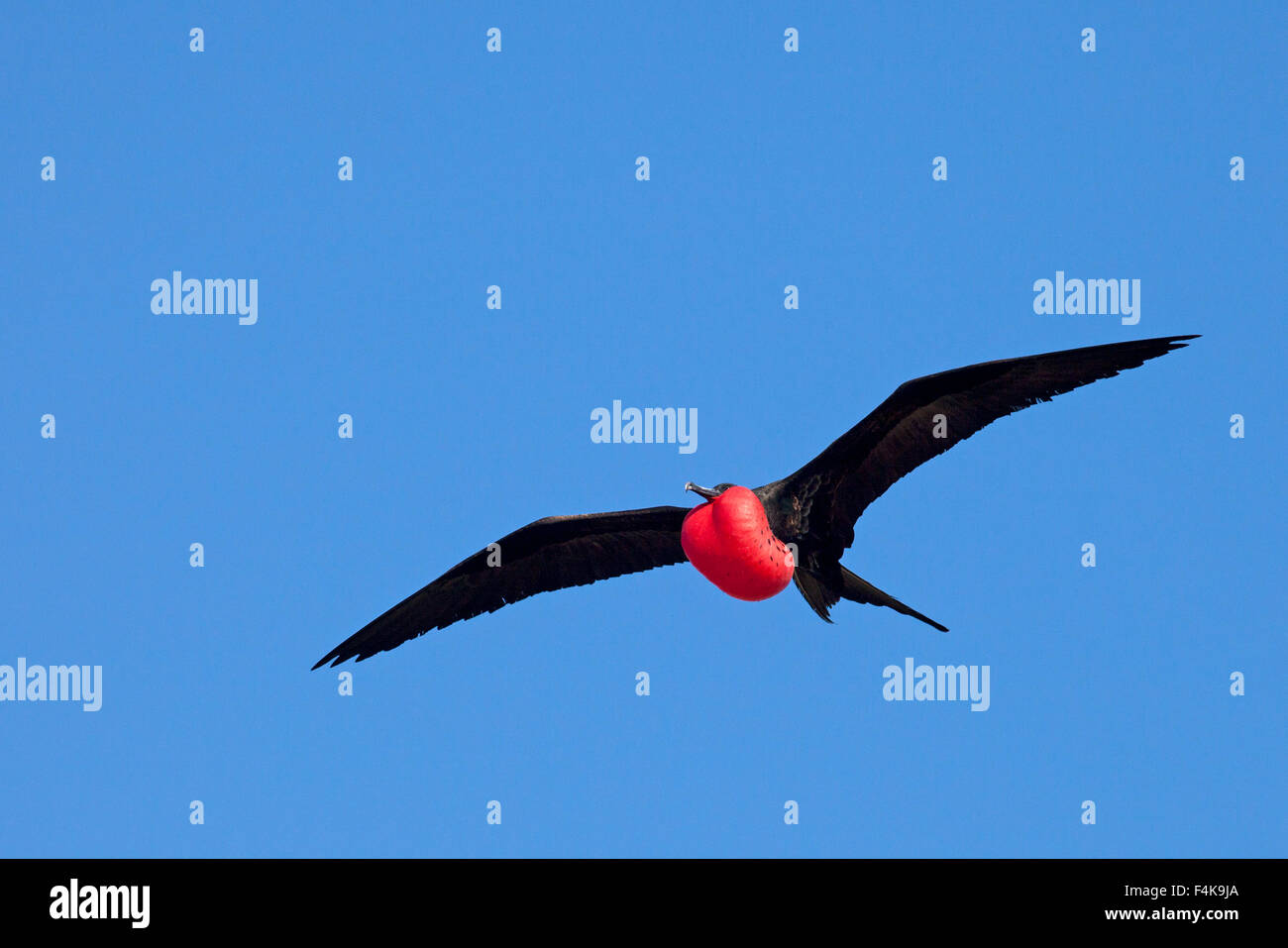 Great Frigatebird (Fregata minor) male soaring over nesting area with fully inflated red gular pouch during courtship Stock Photo