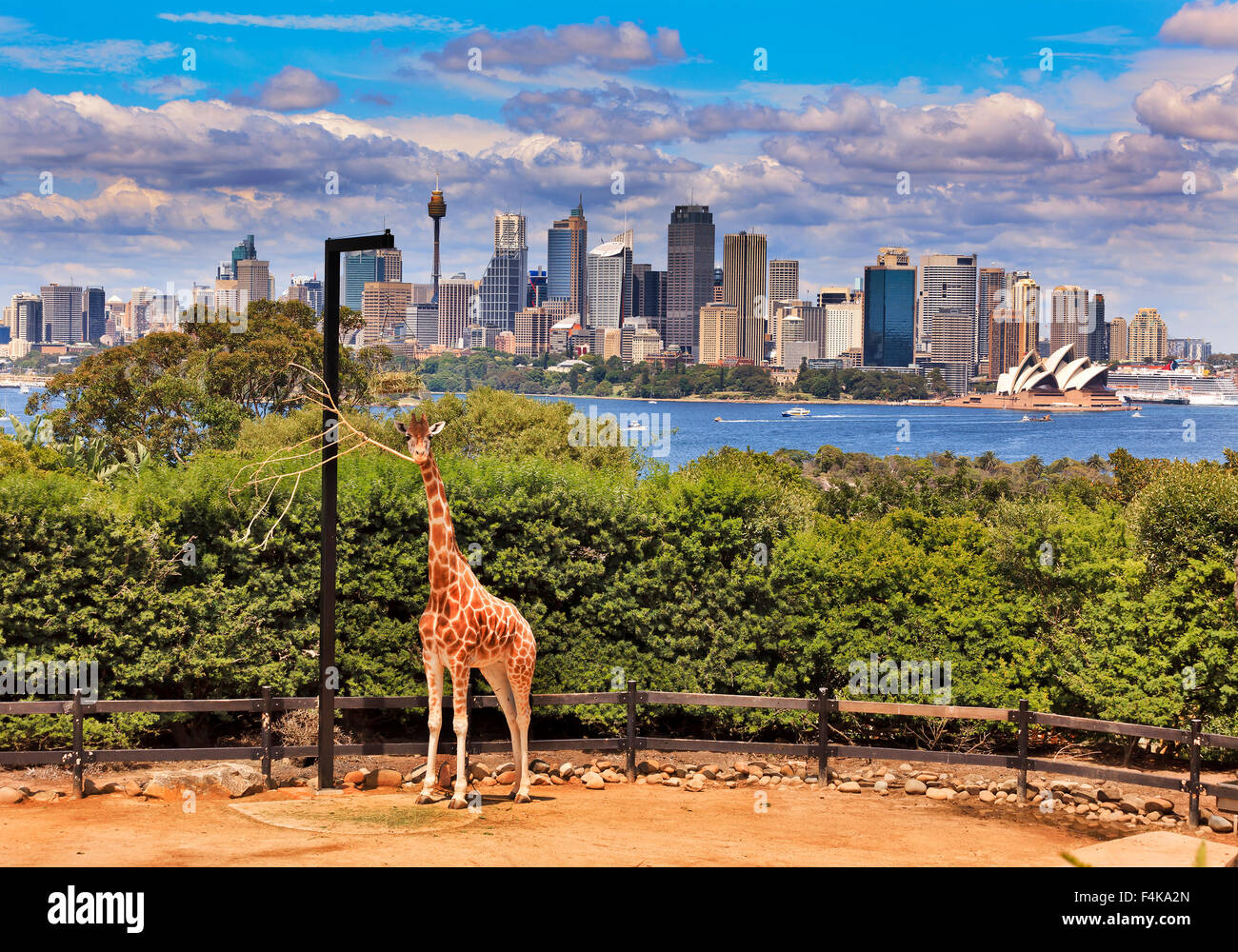 Australian cityscape of CBD across Harbour from green park with single giraffe in foreground Stock Photo