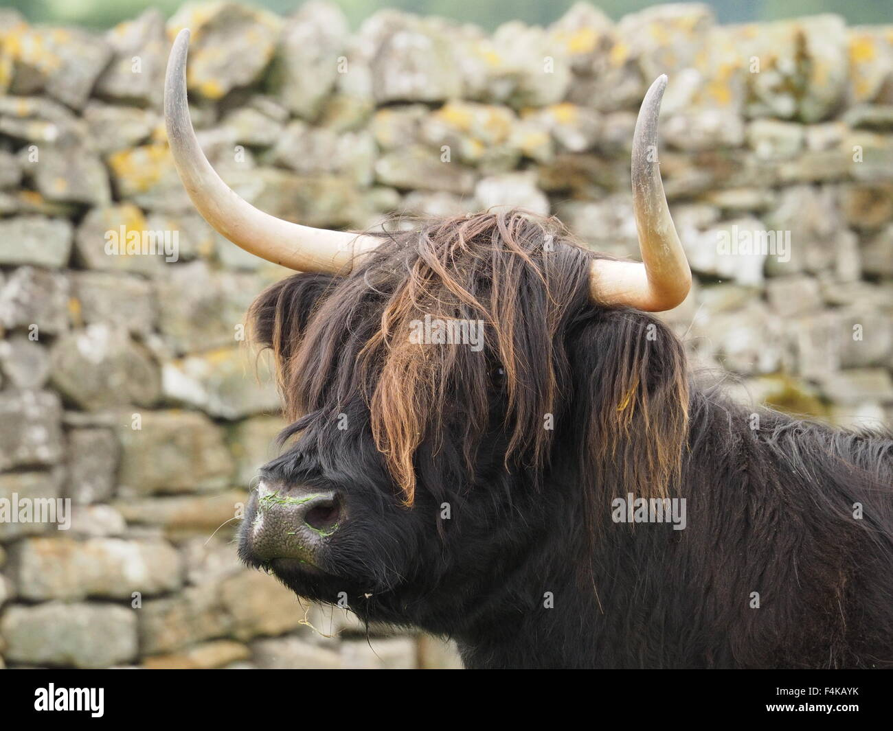 Dark haired highland cow with tousled brown fringe wet nose and sharp horns in profile against dry stone wall - Stock Image