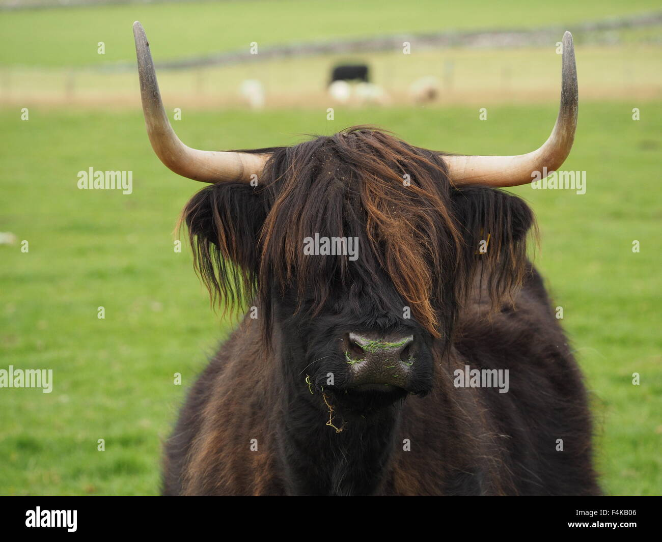 Dark haired highland cow with tousled brown fringe wet nose and sharp horns in grassy field with distant sheep and - Stock Image
