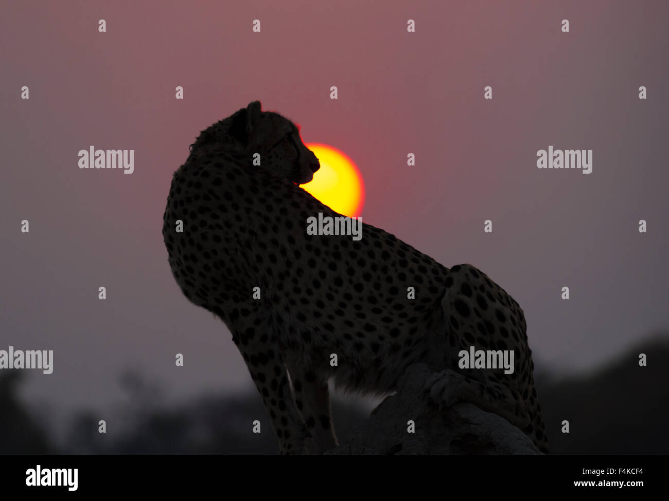 Female cheetah (Acinonyx jubatus) sitting against the setting sun, Sandibe Camp, Okavango Delta, Botswana, southern - Stock Image