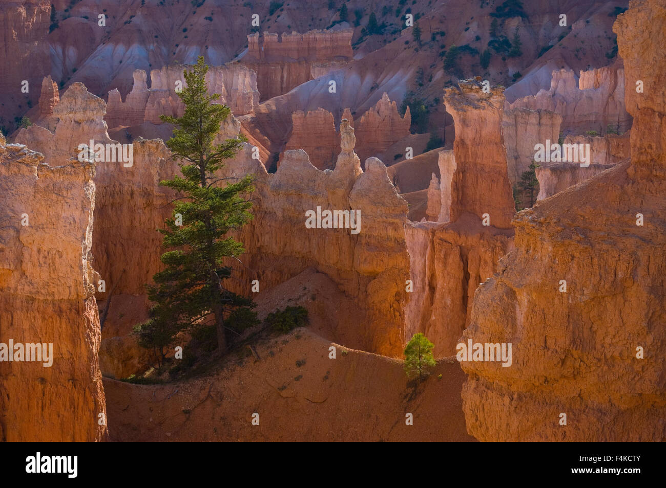 Conifer, Bryce Canyon National Park, Utah, USA. - Stock Image