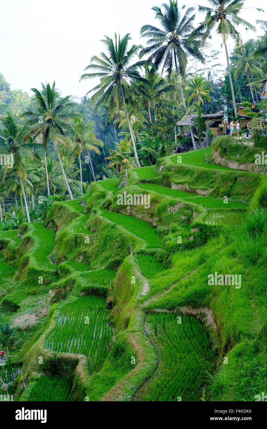 The paddy field in Tegallalang, Ubud, Bali. Stock Photo