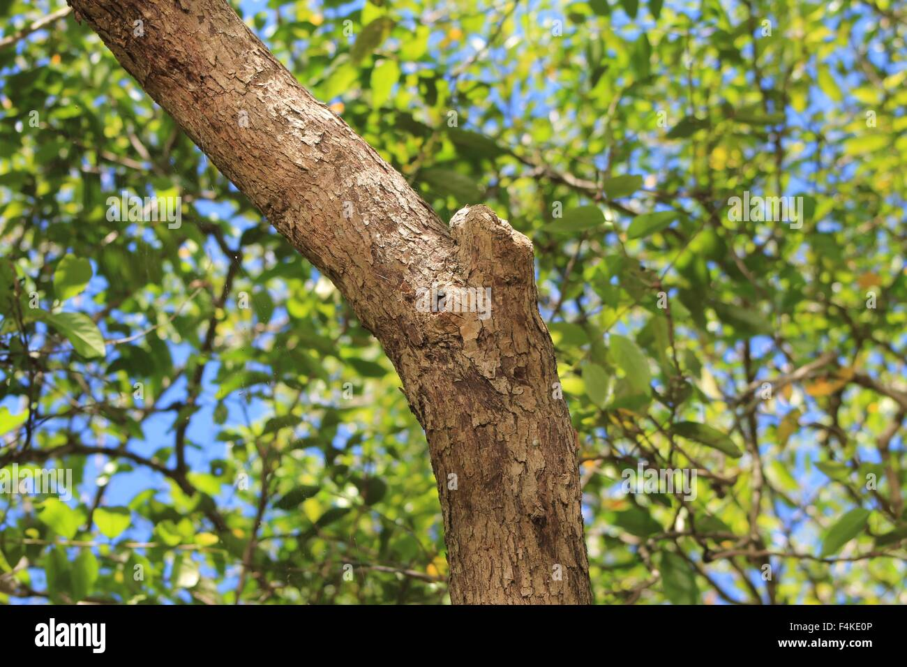 Tree trunk, bark, tree branches, leaves, sunlight - Stock Image