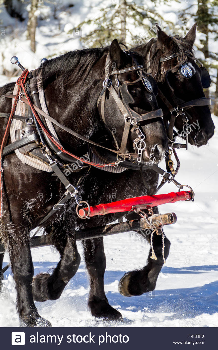 Close up of horses pulling a winter sleigh across Lake Louise in Banff National Park during a sunny day - Stock Image