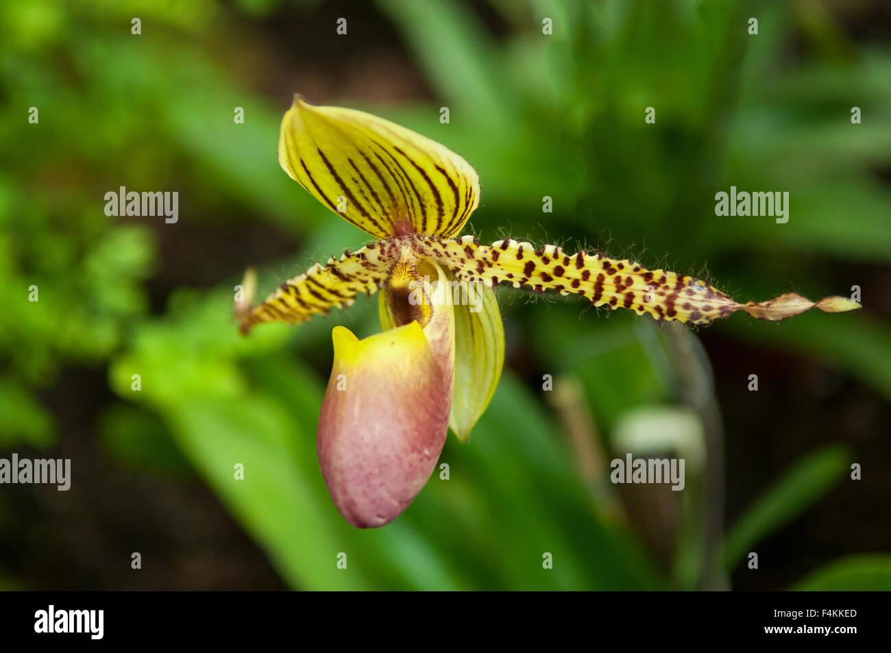 Paphiopedilum Transvaal Orchid - Stock Image