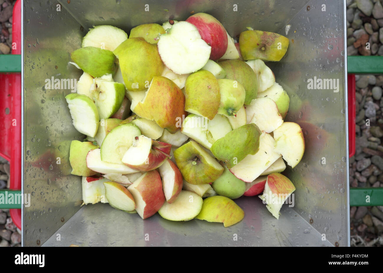 cut apples in the hopper of an apple scratter that will pulp the