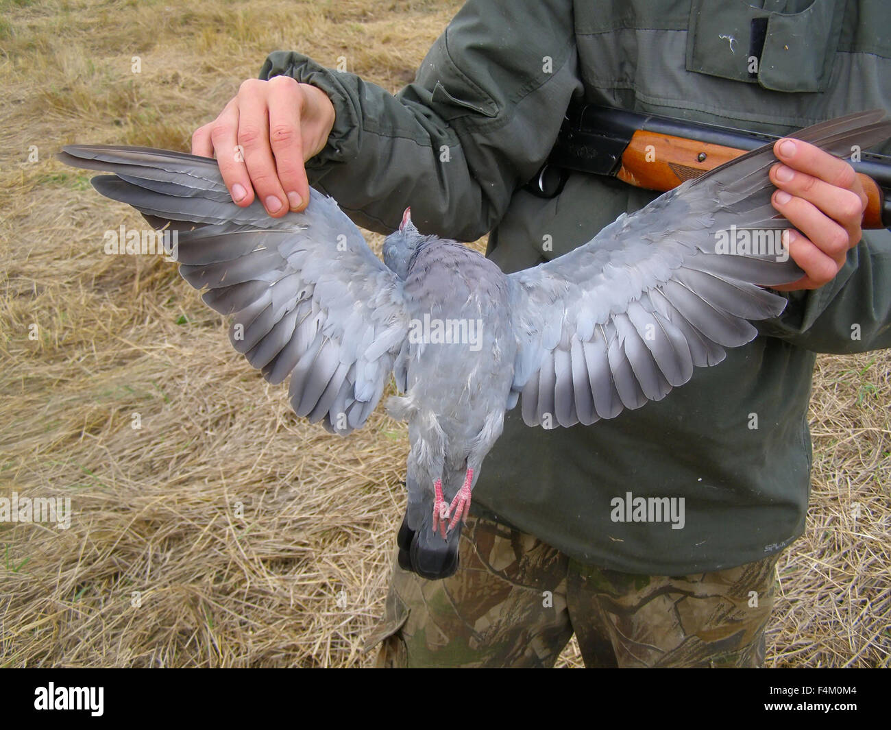 Woodpigeon get on hunting by a gun Stock Photo: 88950068 - Alamy