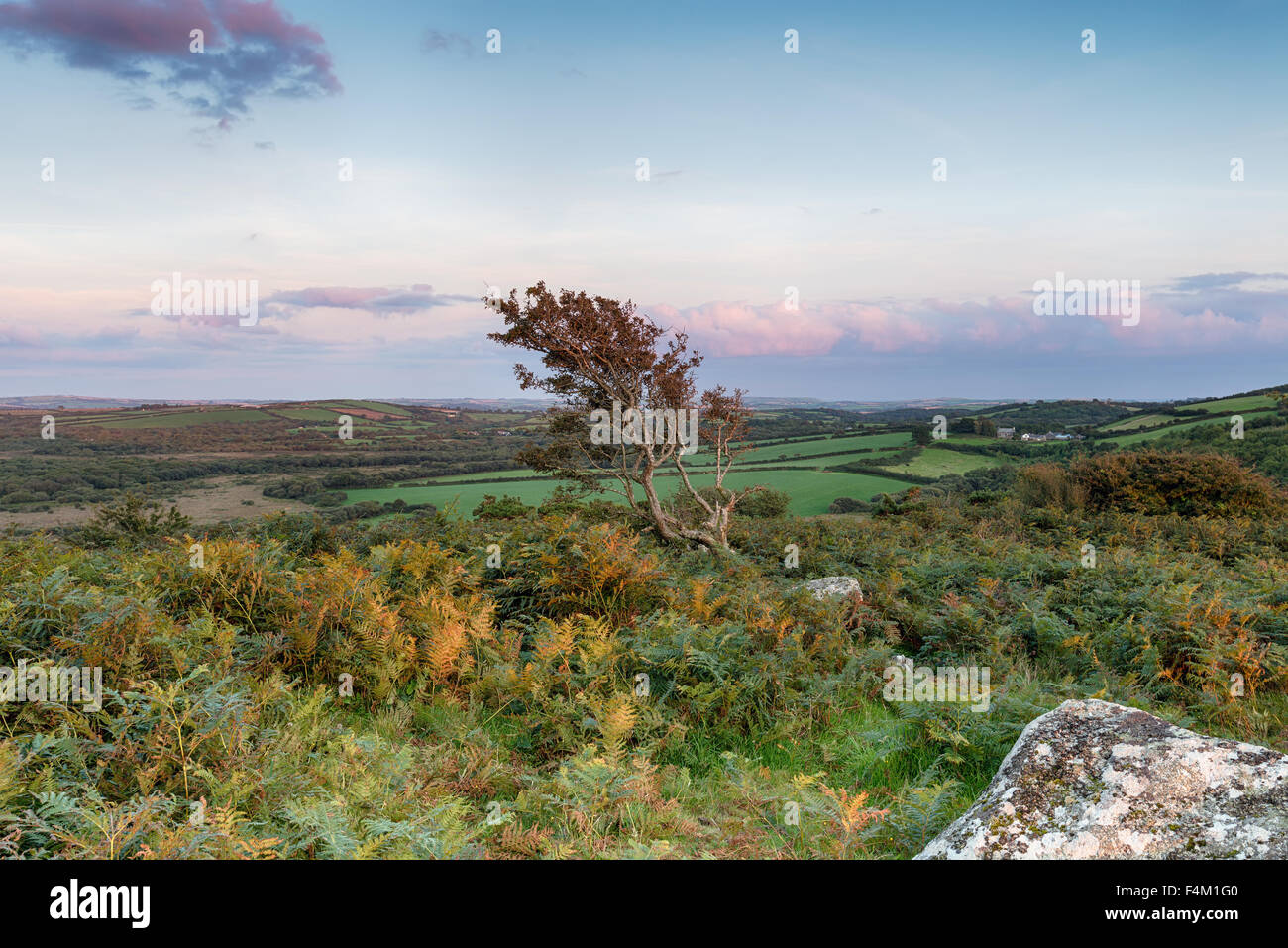 Wild moorland in Cornwall with a windsept Hawthorn tree - Stock Image