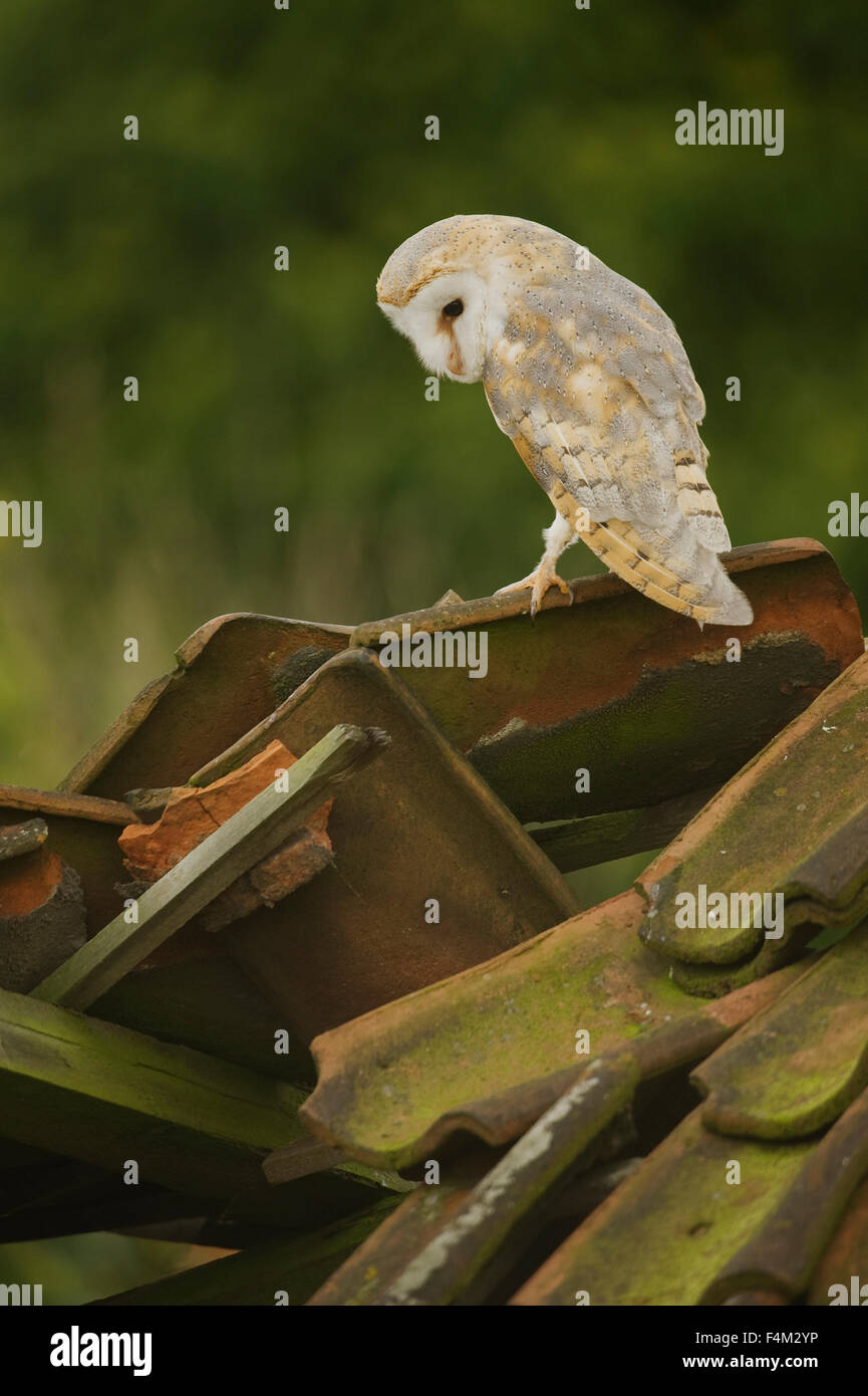 Barn Owl (Tyto alba) perched on derelict barn roof - Stock Image