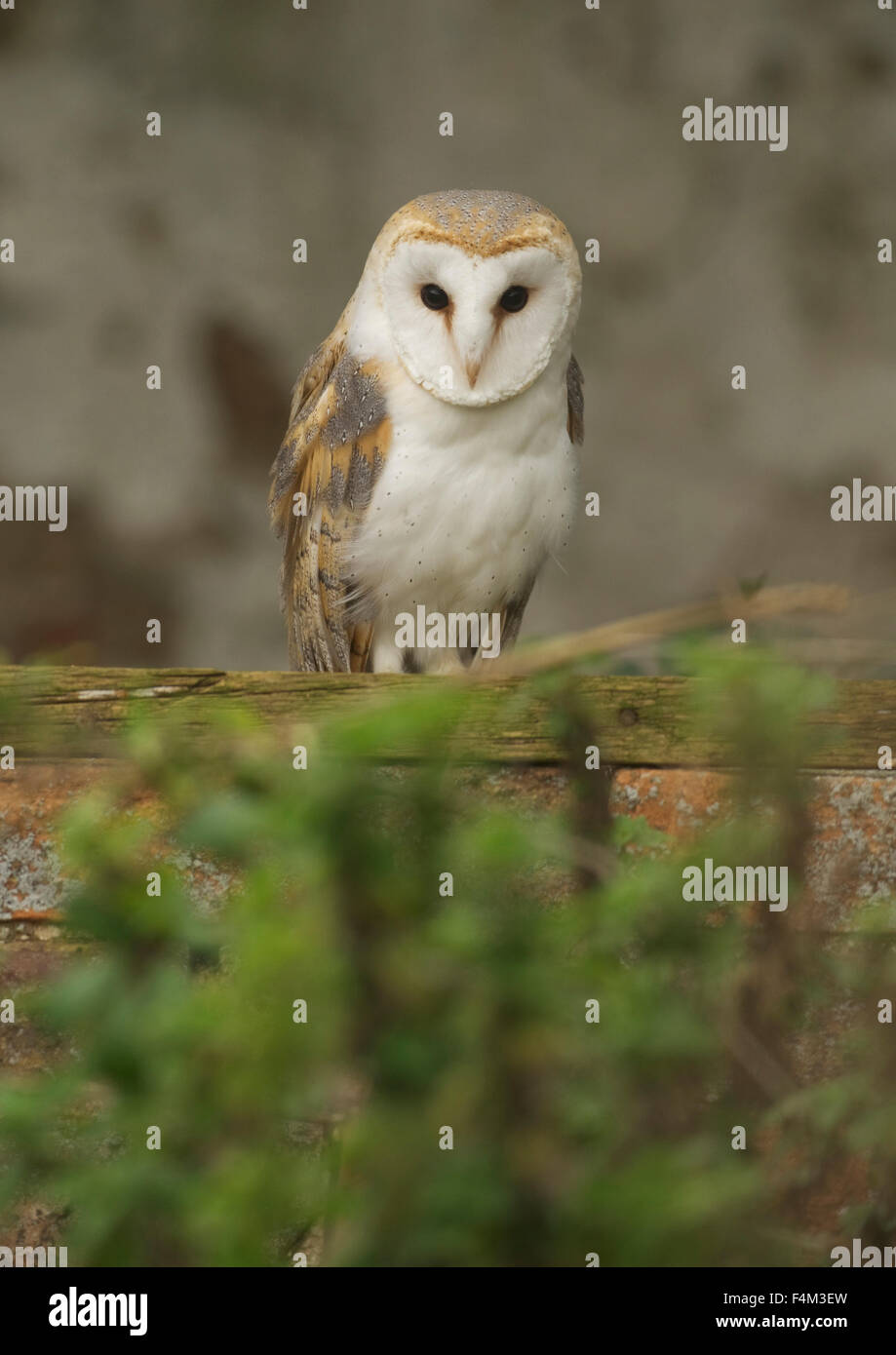 Barn Owl (Tyto alba) in a derelict barn - Stock Image