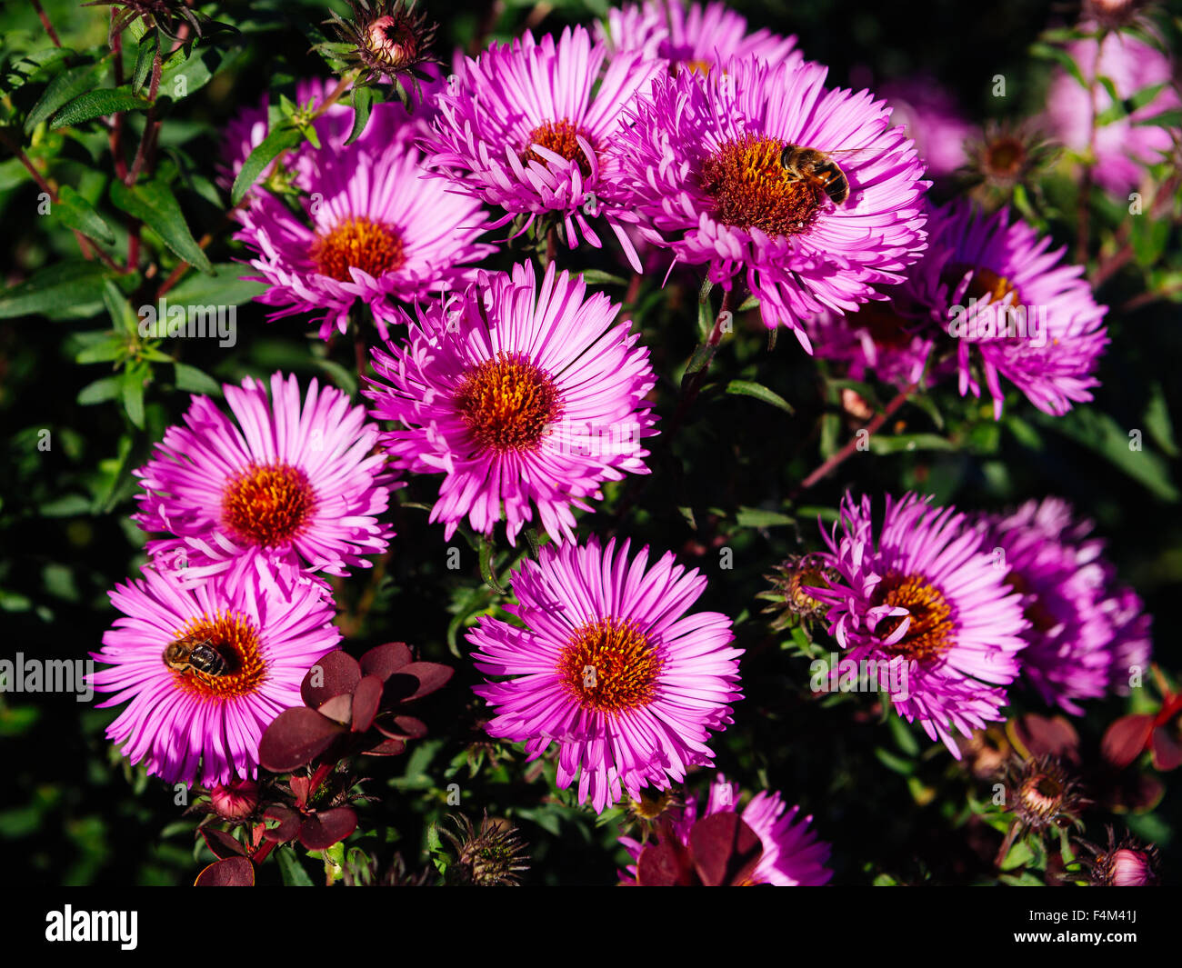 Autumn flower pattern from lilac daisies - Stock Image