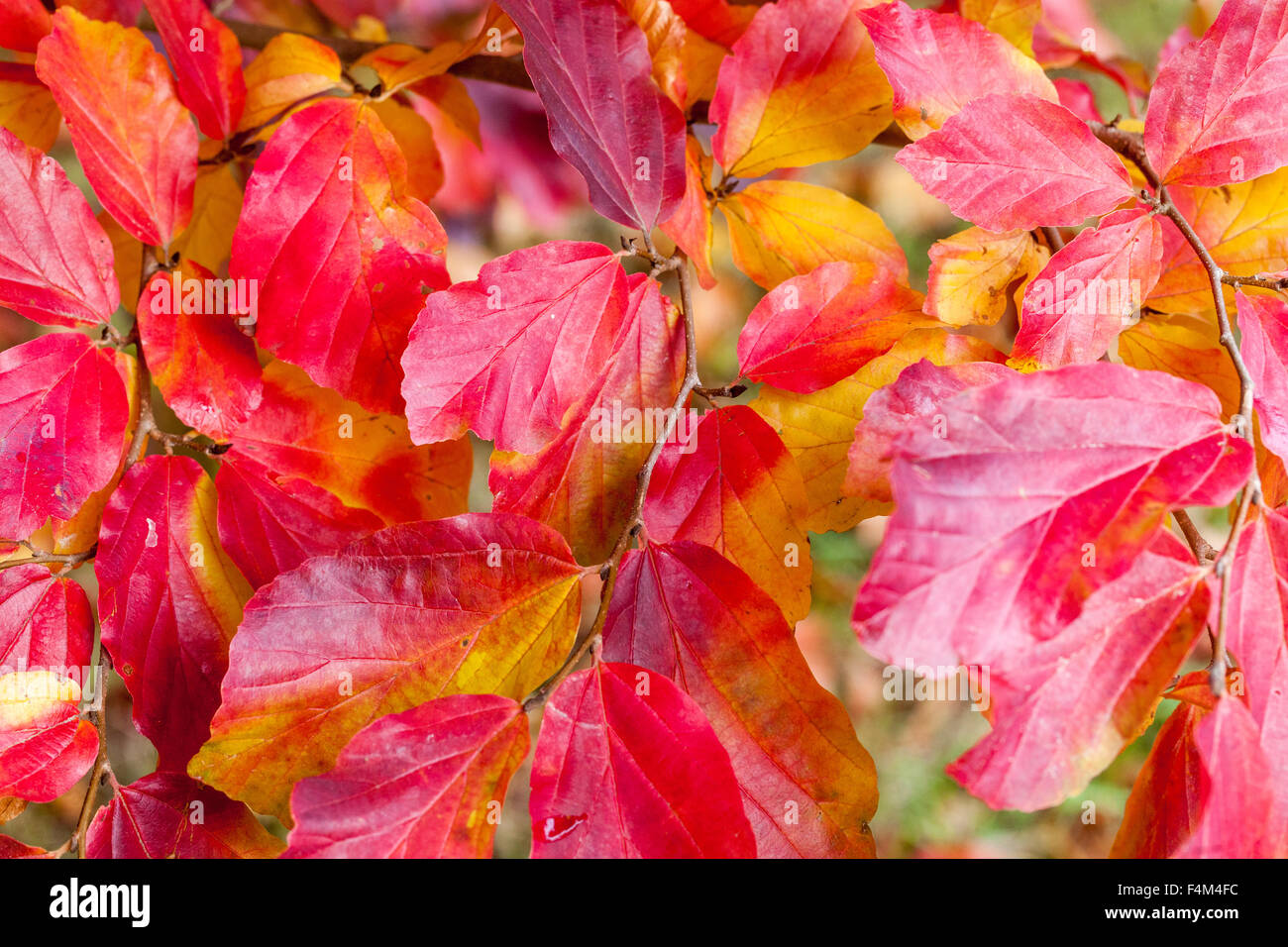 Persian ironwood ,Parrotia persica, red autumn leaves - Stock Image