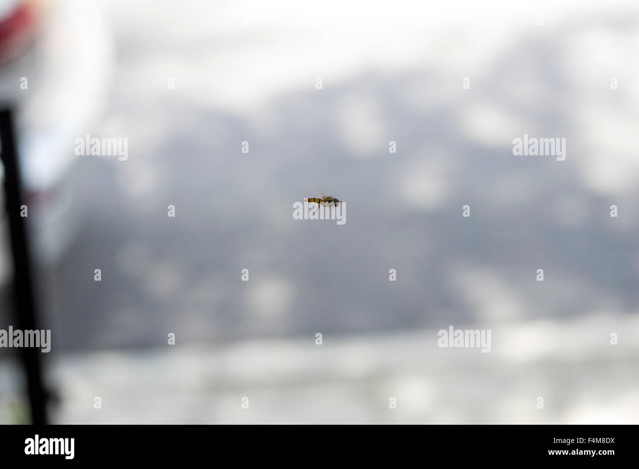 Hoverfly in mid air flight, also known as flower fly, sweat bee or syrphid fly, in the insect family Syrphidae, - Stock Image