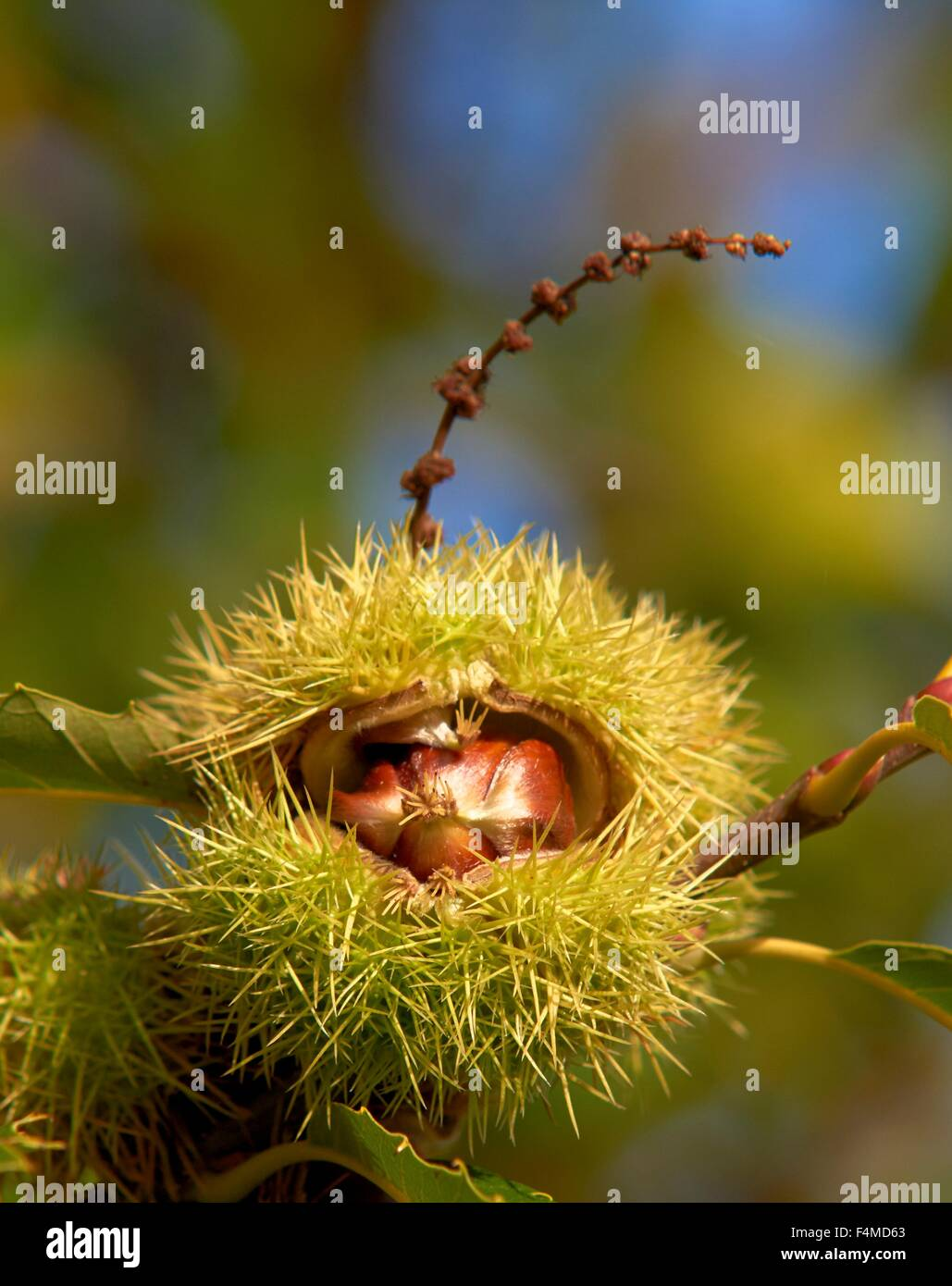 Horse chestnut tree - Stock Image