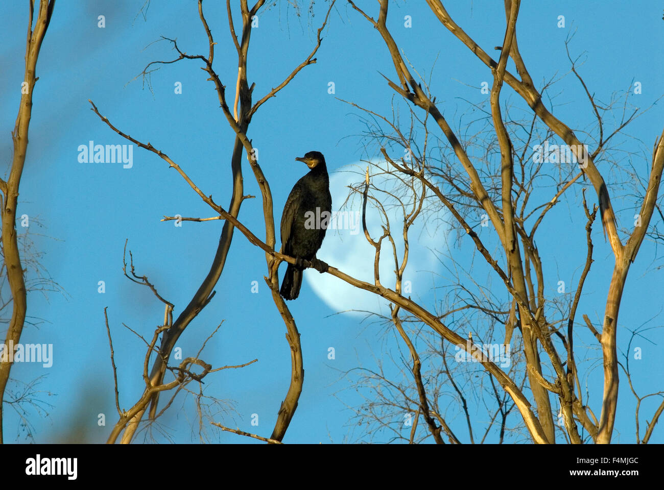 Great Cormorant (Phalacrocorax carbo) perched in dead tree with full moon behind - Stock Image