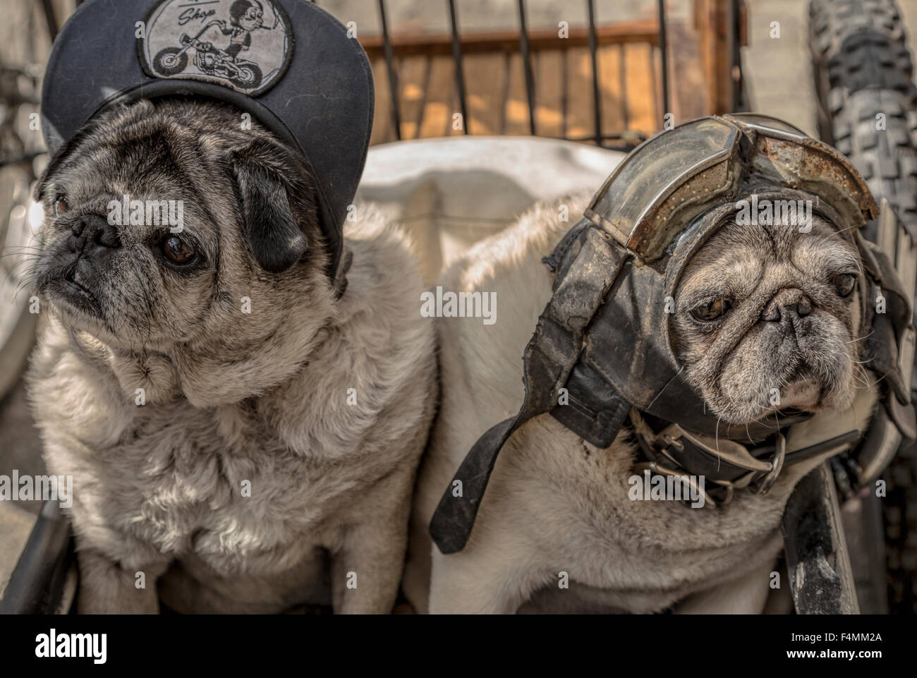 Portrait of two pug dogs dressed in a cap, helmet and goggles. This breed is or a.k.a. Chinese pug, Dutch bulldog, - Stock Image