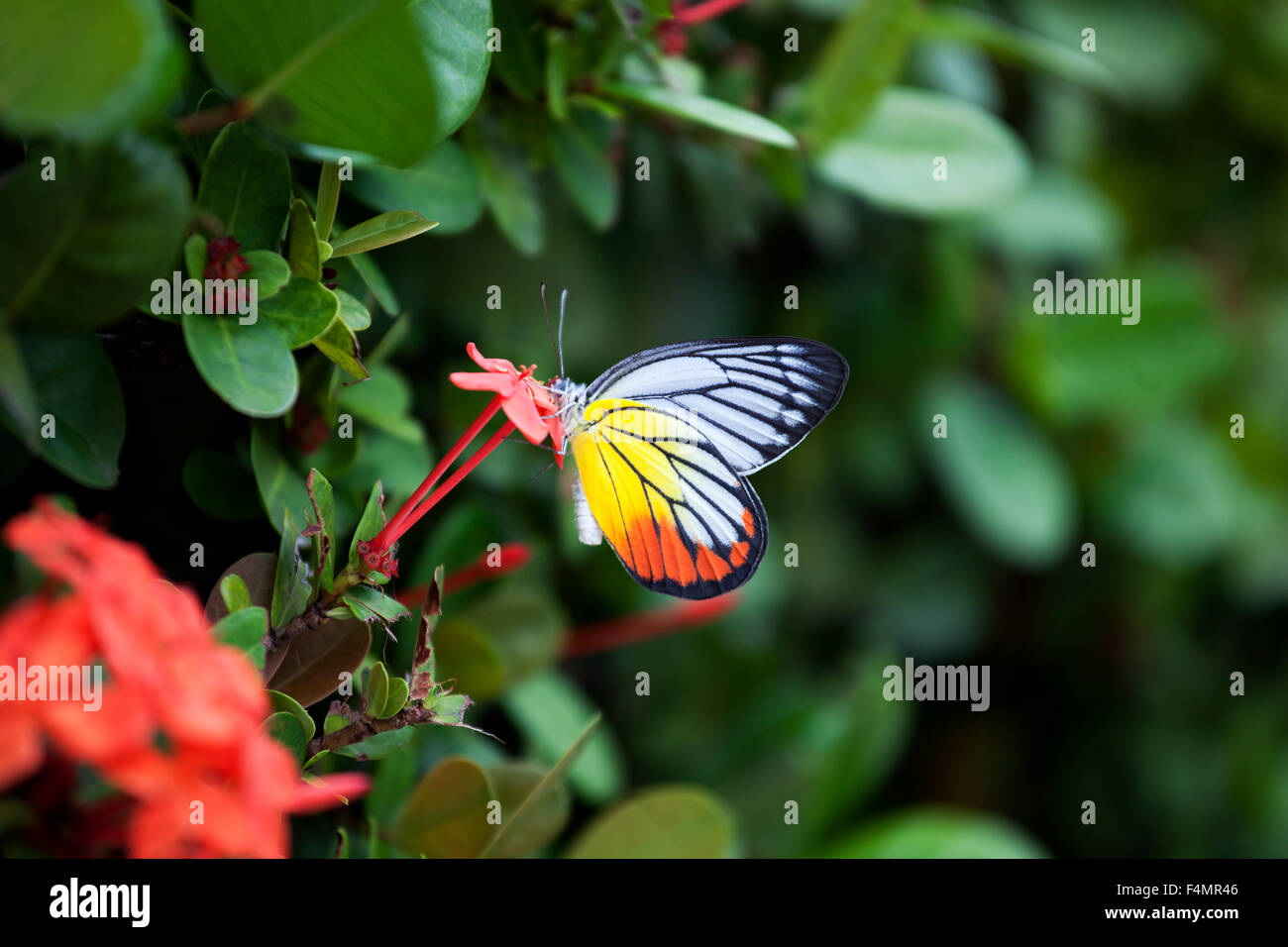Butterlfy in the Gardens of Penang, Malaysia - Stock Image