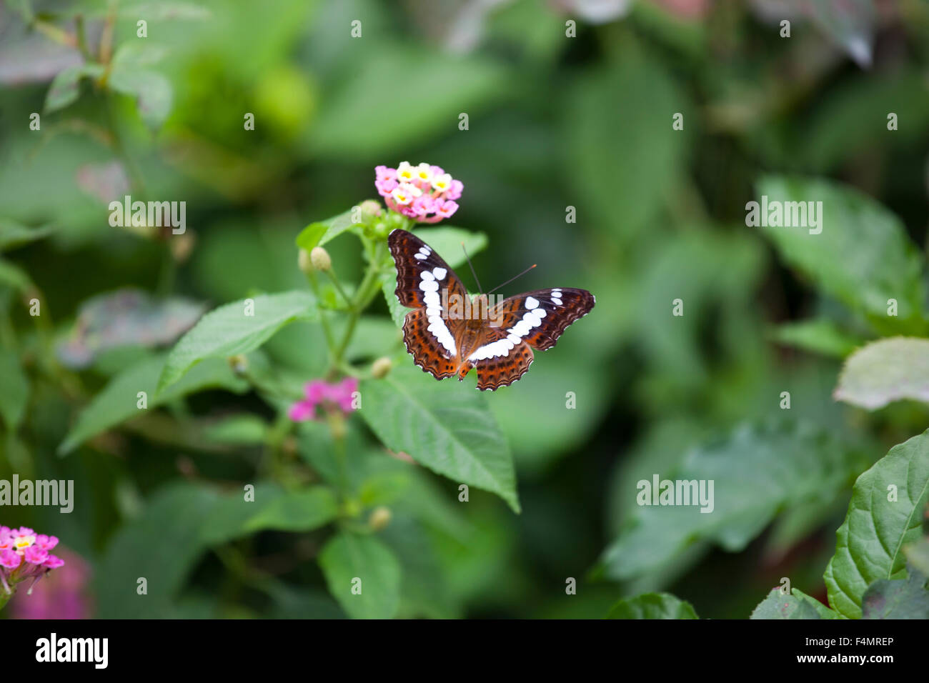 Butterfly in Georgetown, Malaysia - Stock Image