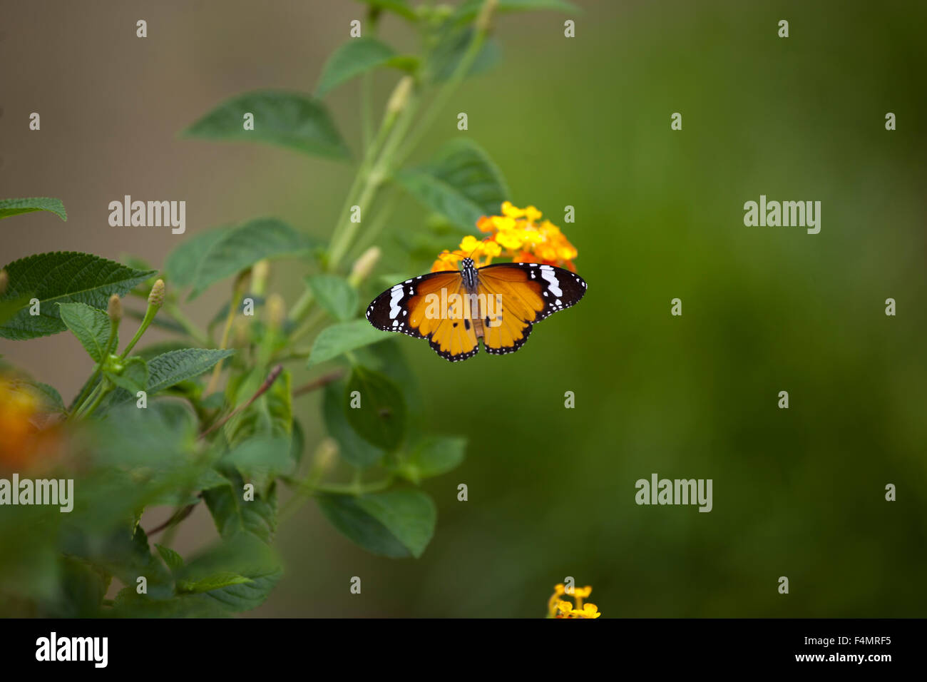 Butterfly in Georgetown, Malaysia Stock Photo