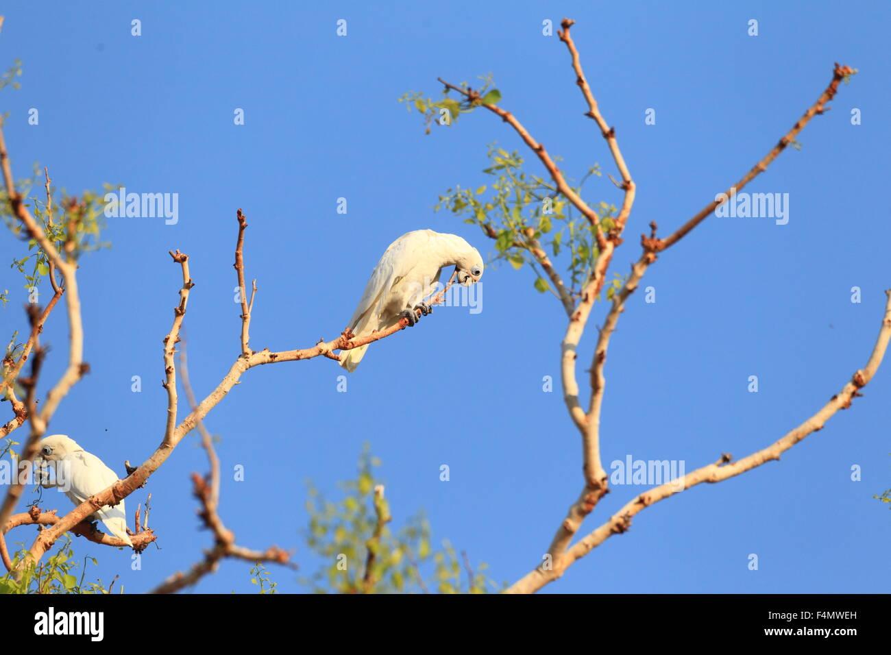 Little Corella (Cacatua sanguinea) in  Australia - Stock Image