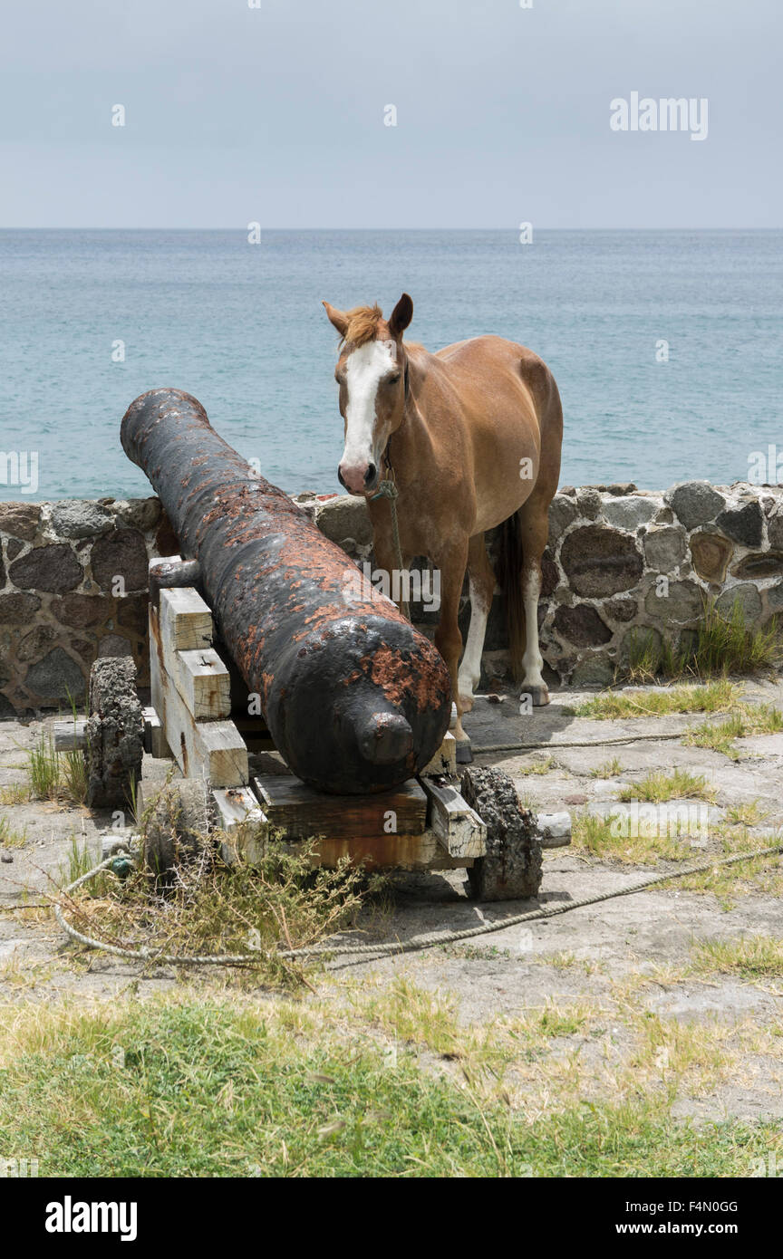 Montserrat, Caribbean. A horse tethered by the old cannon at Carr's Bay. - Stock Image