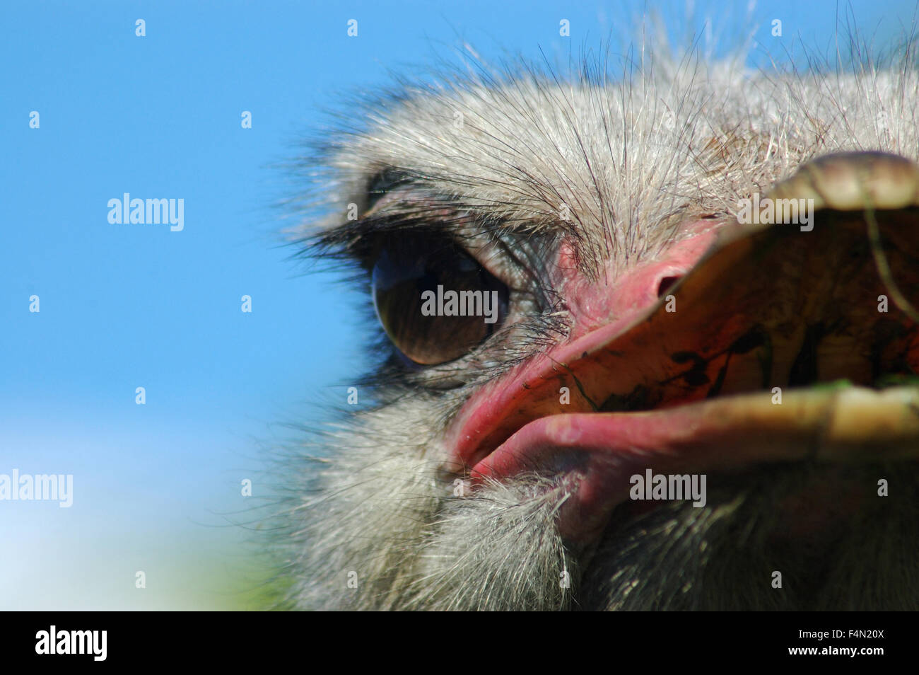 Portrait of ostrich, struthio camelus - Stock Image