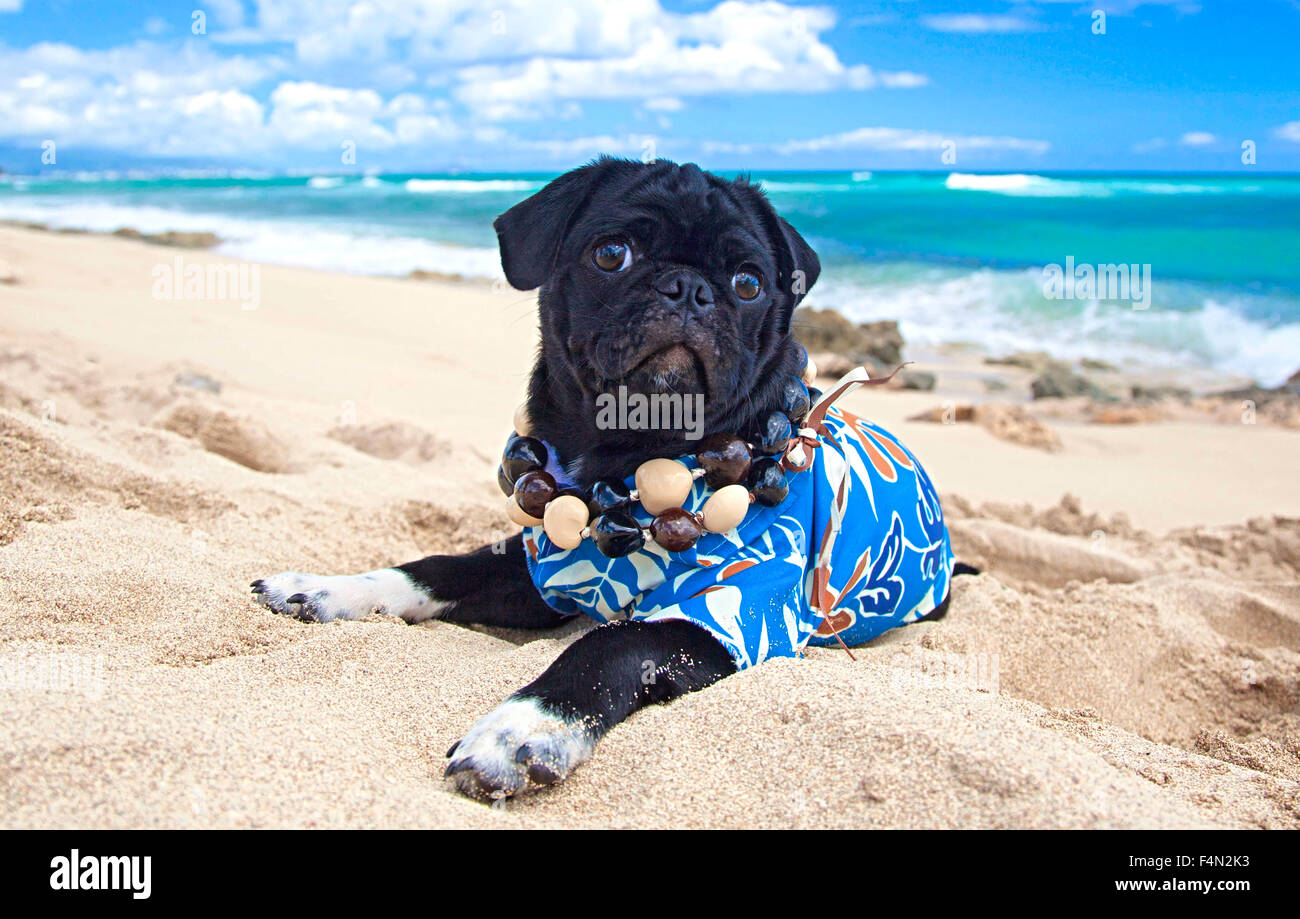Cute Pug in Aloha shirt on beach in Hawaii - Stock Image