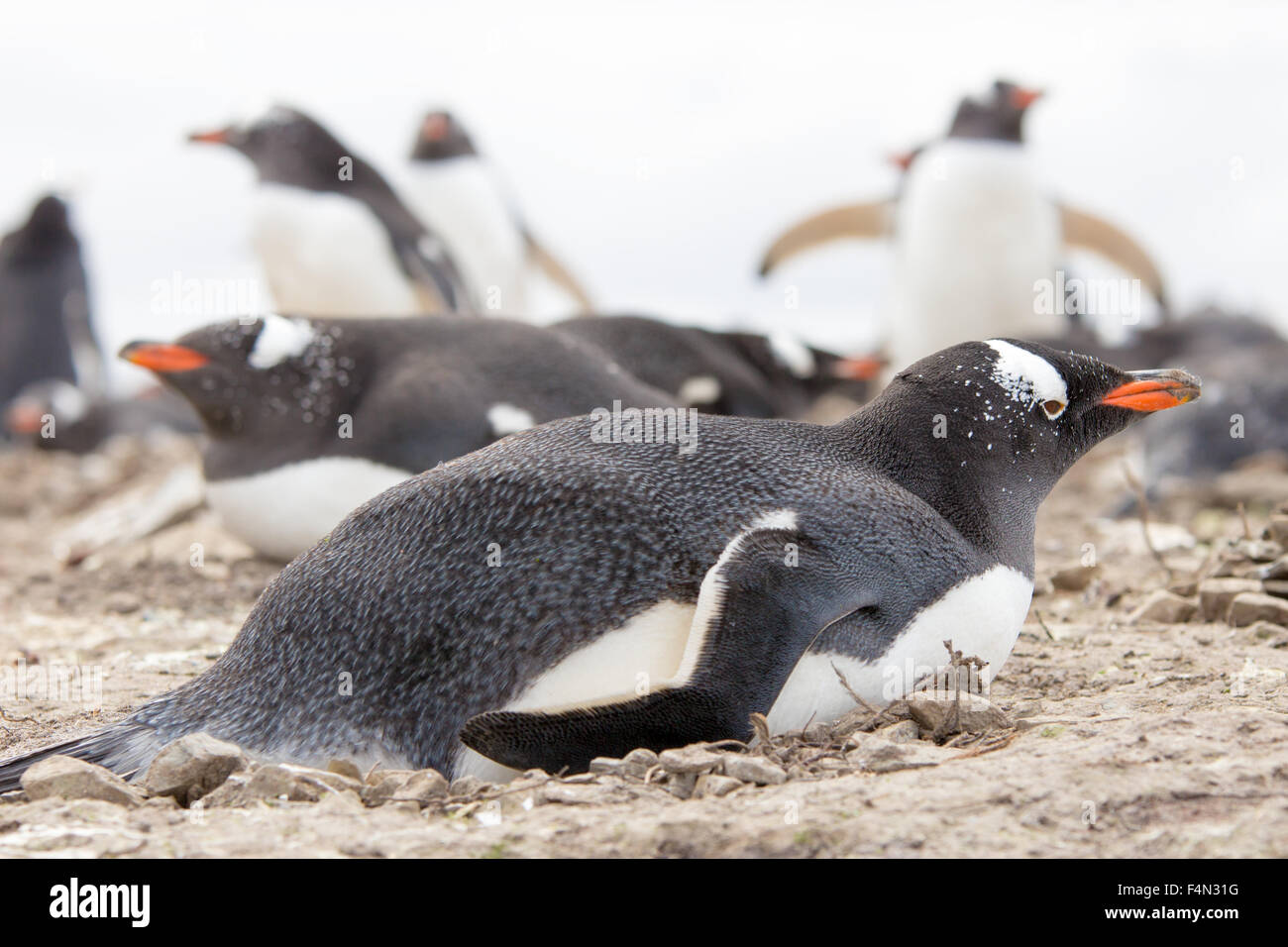 Gentoo penguin lying on her rock nest. Falkland Islands. - Stock Image